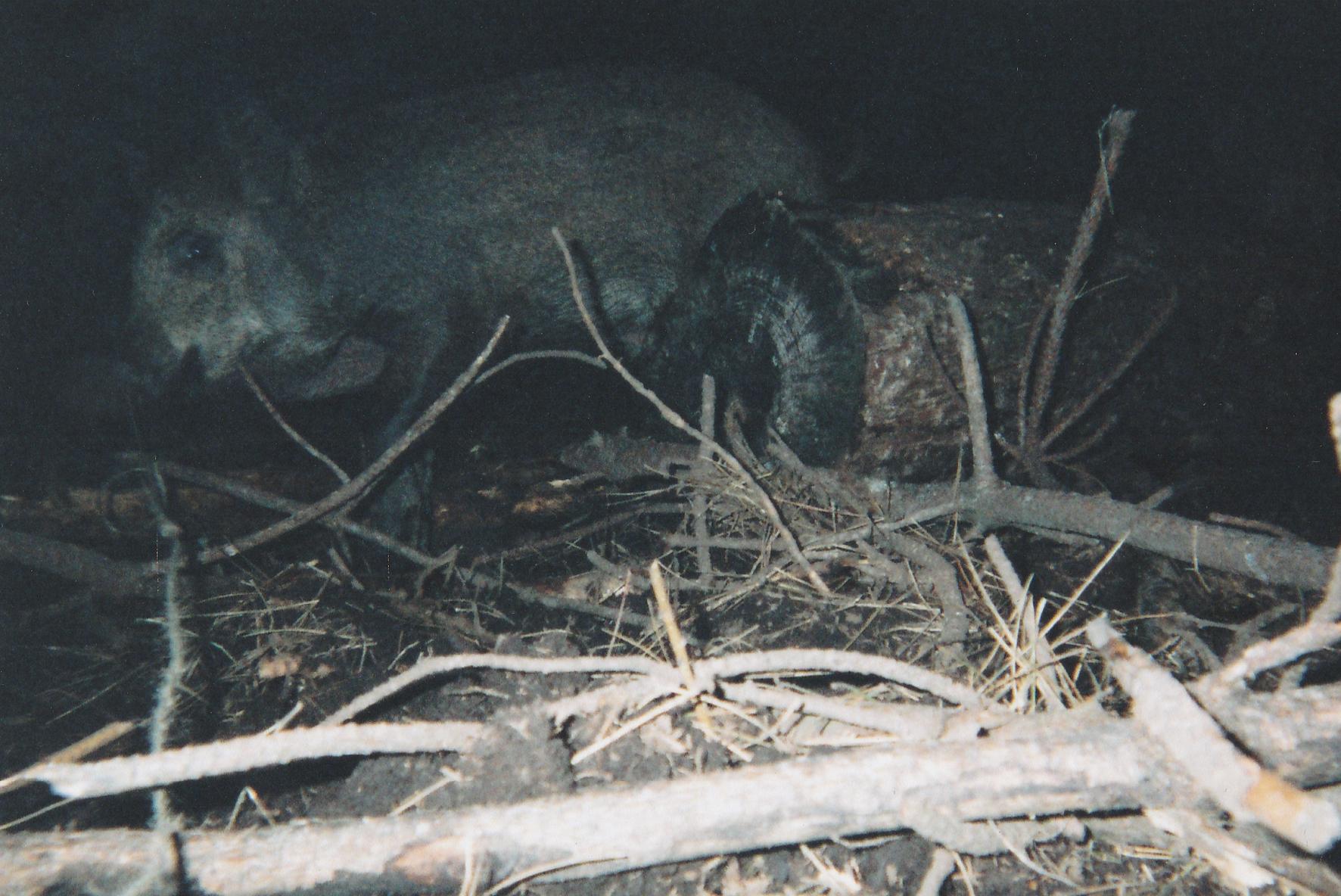 Wild Boar Photos 12.jpg