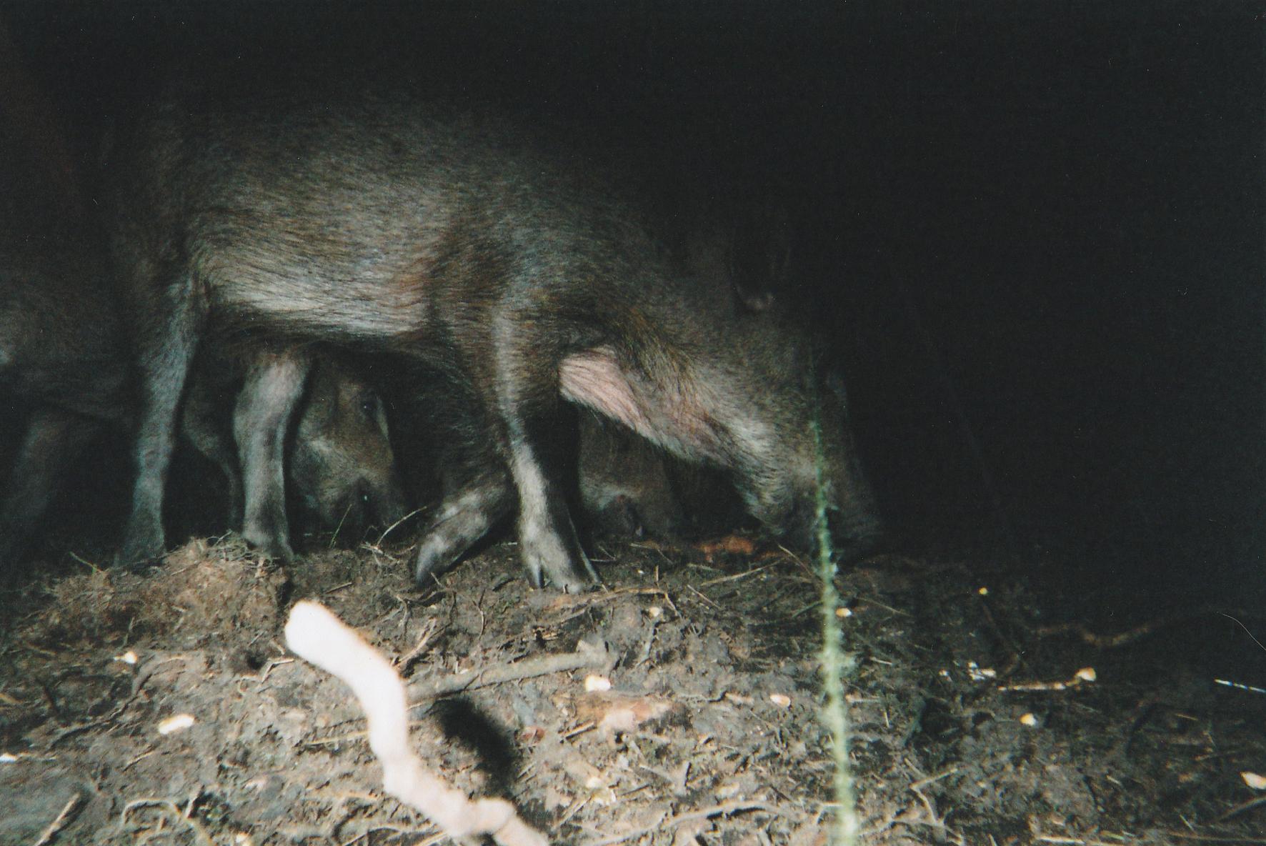Wild Boar Photos 14.jpg