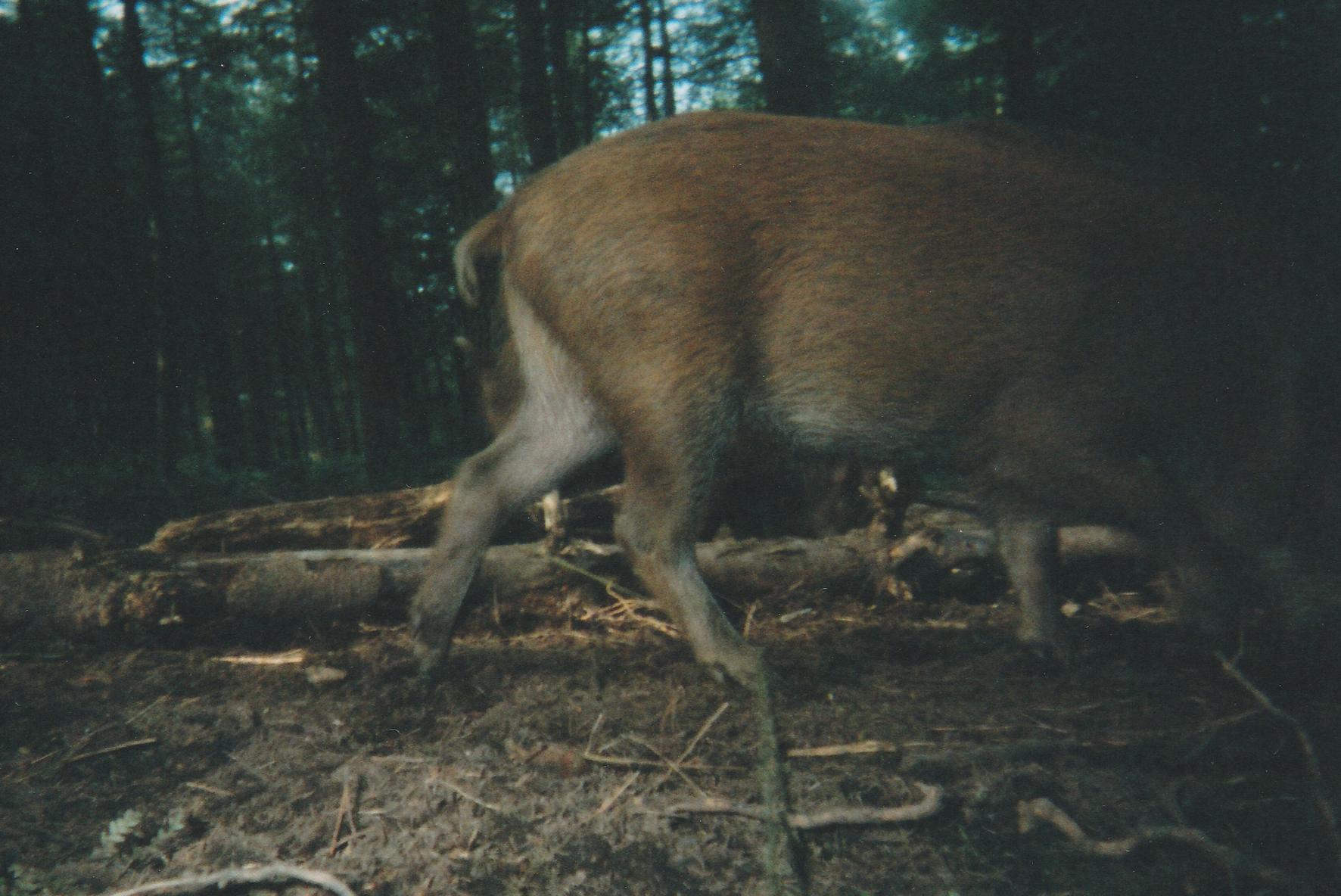 Wild Boar Photos 19.jpg