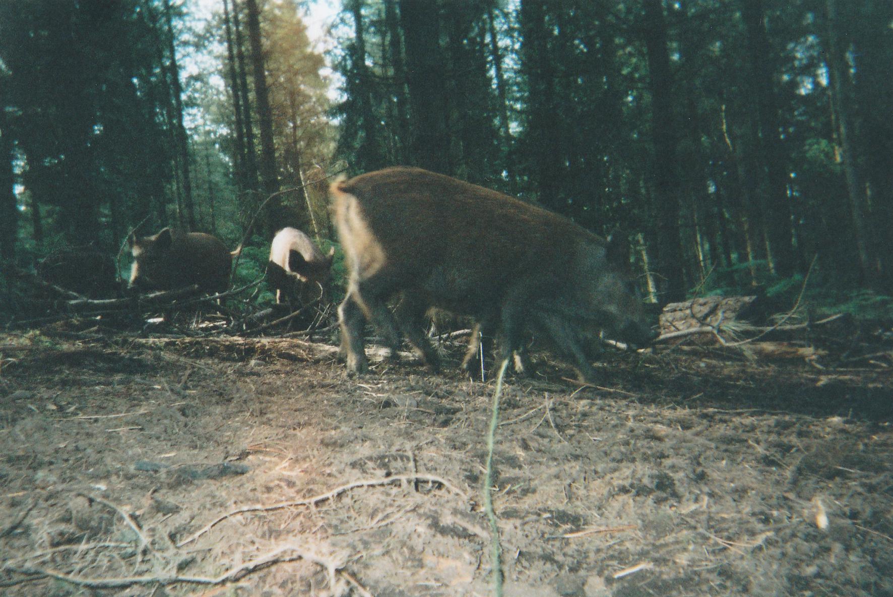 Wild Boar Photos 23.jpg