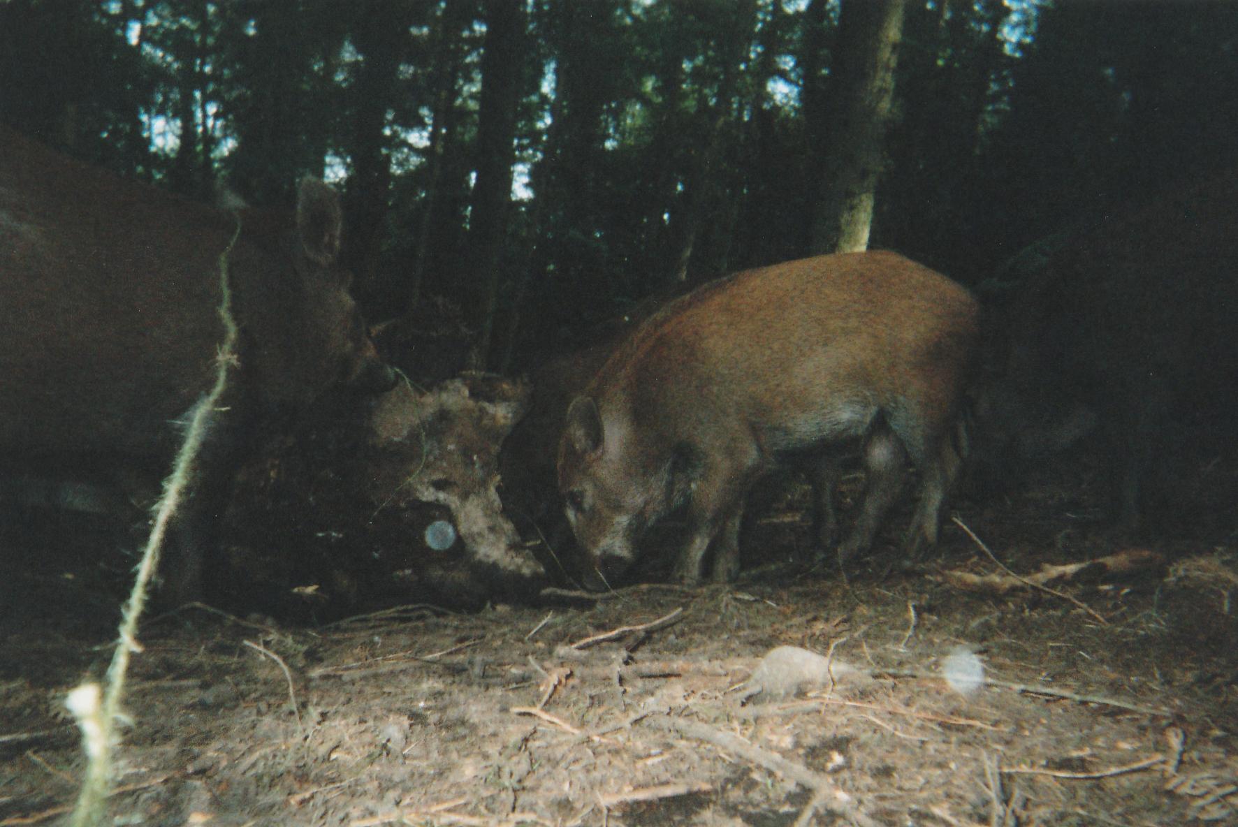 Wild Boar Photos 27.jpg