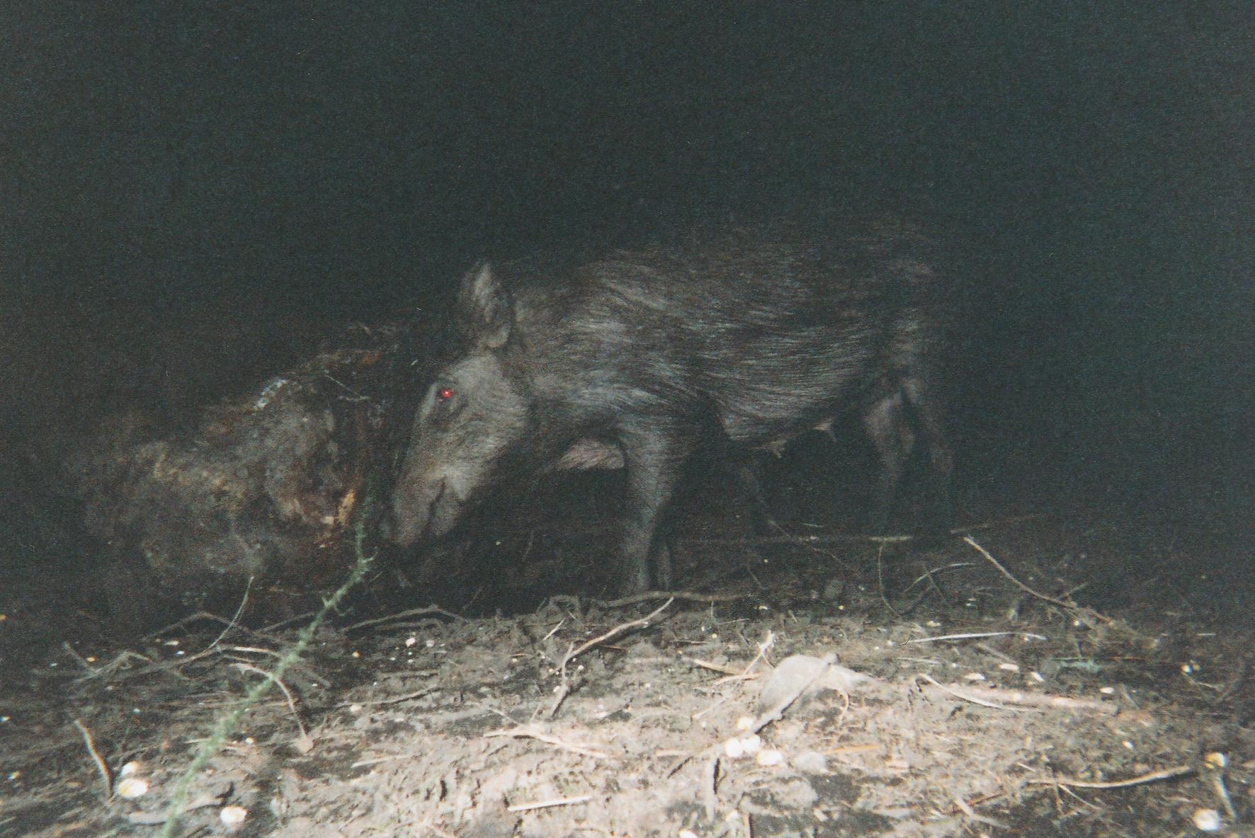Wild Boar Photos 28.jpg