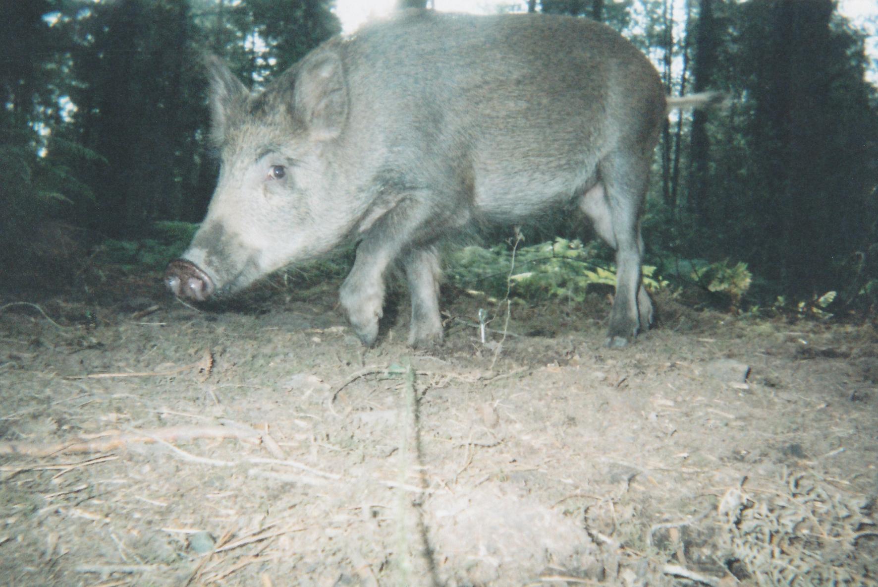 Wild Boar Photos 30.jpg