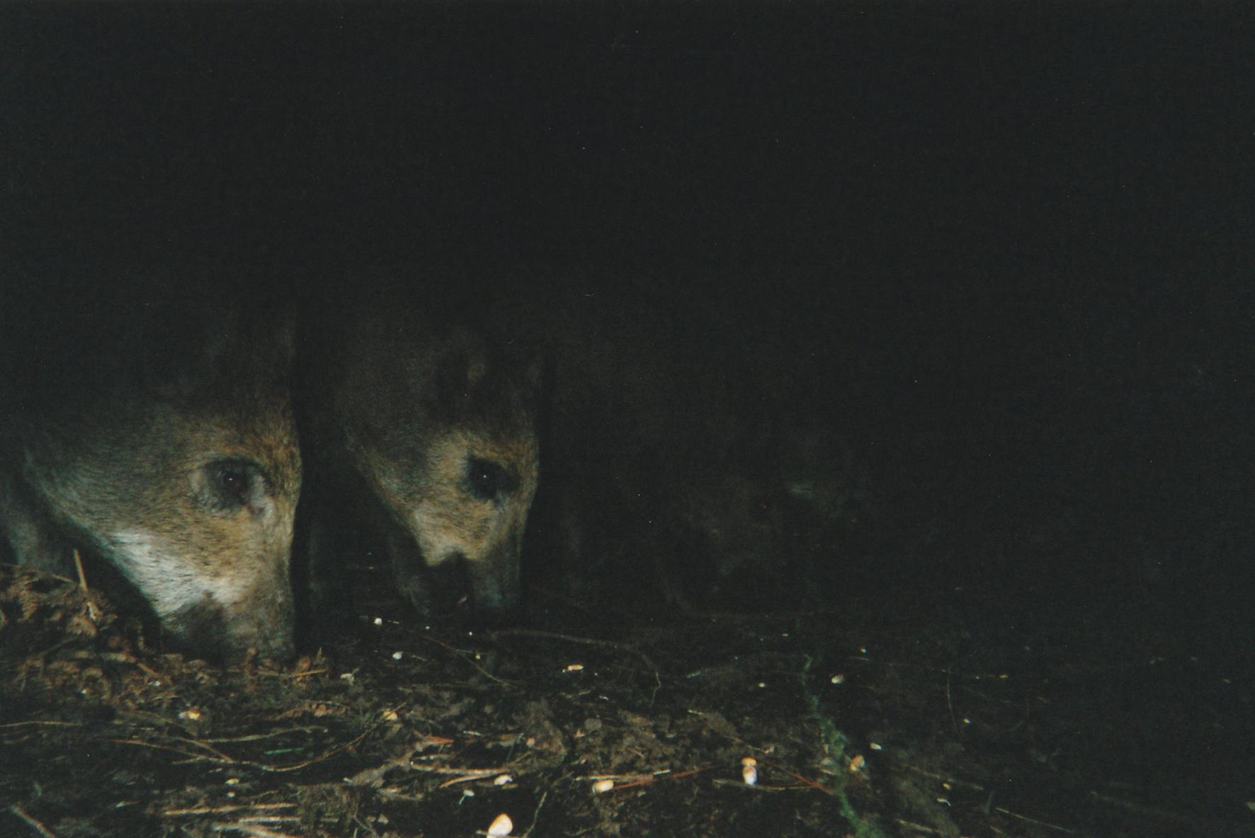 Wild Boar Photos 36.jpg