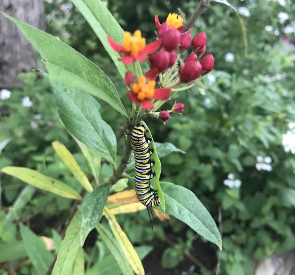 A very lovely monarch caterpillar, I snapped this photo on Sept 24 in Austin.