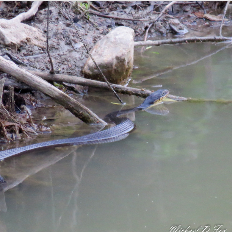 Plain bellied water snake (3).PNG