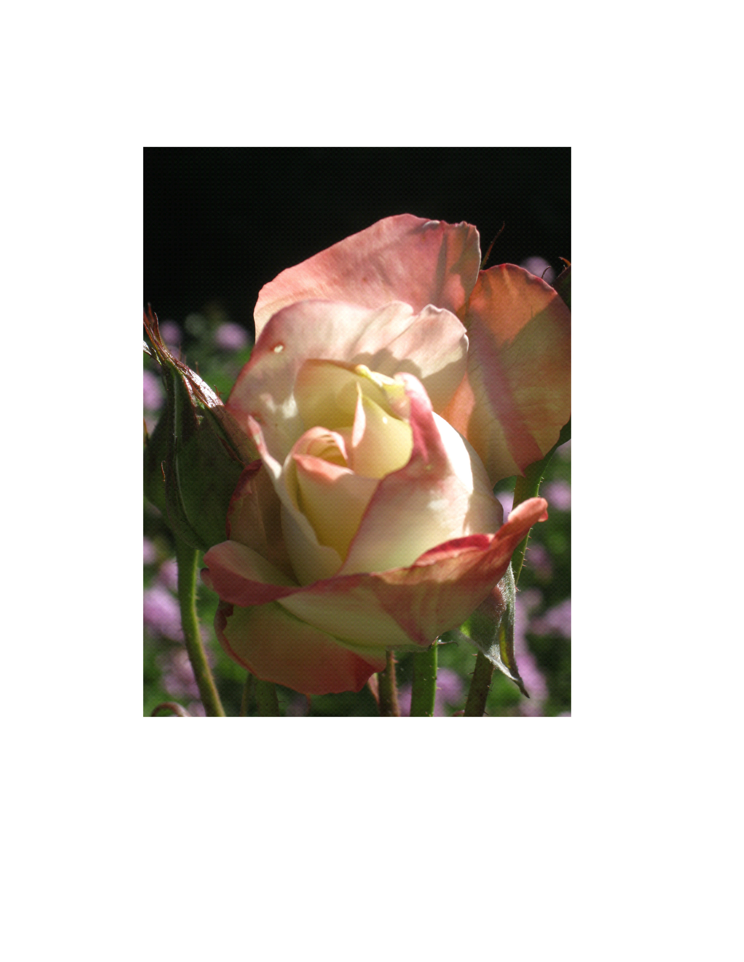 Rose with black background   (photo).JPG