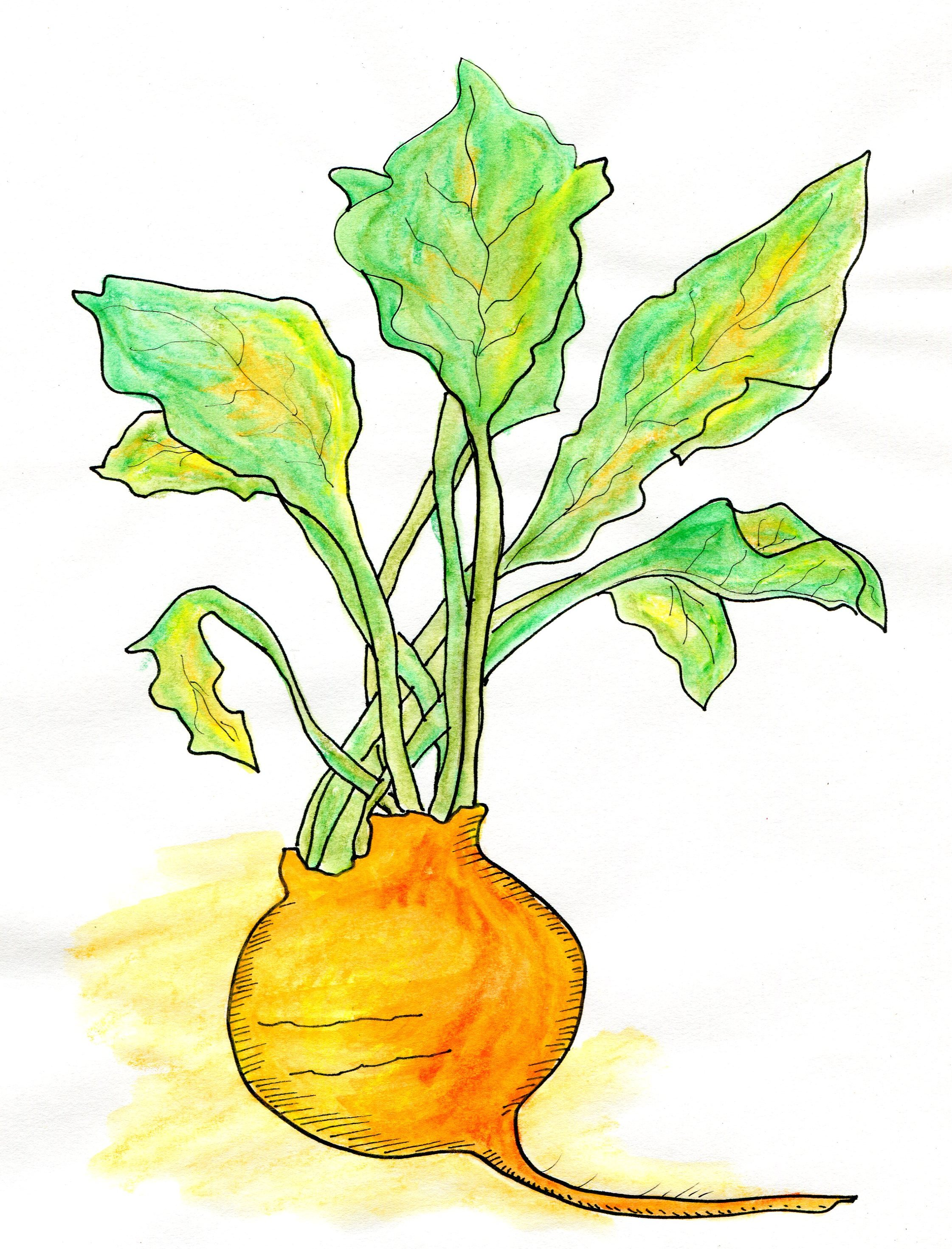 "A woman who was starting a personal chefing business in her new location asked for an image of a golden beet because that was what she wanted to call her business. ""Make it look earthy,"" she said, ""organic, not too groomed. With a bit of wildness, so it looks real."" I did a sketch, sent it to her, got and integrated her feedback — and voila! a golden beet for her logo. ""I love it!"" she declared. Price: $275 -"