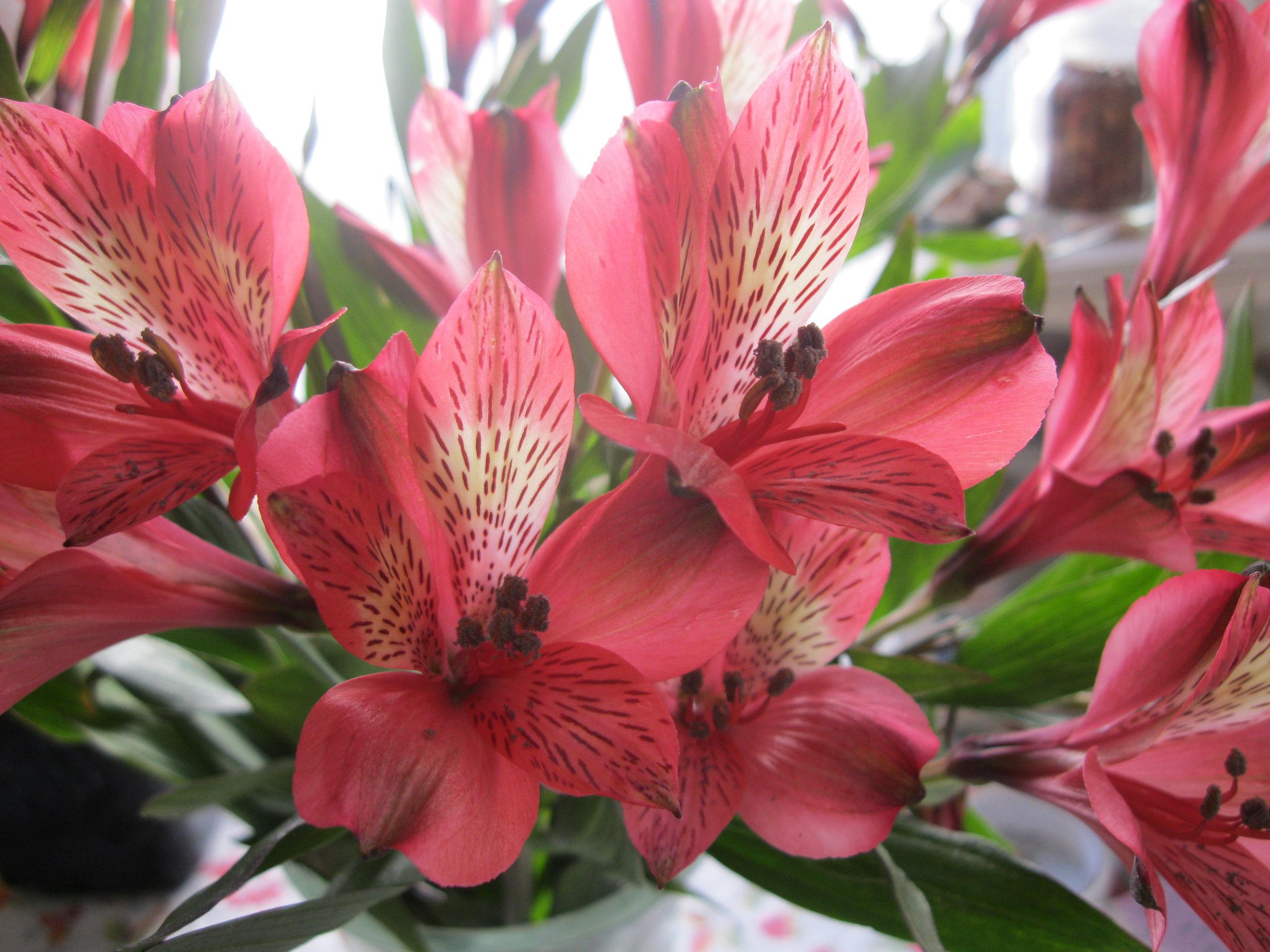 Astromeria, open, selected open  blooms.JPG