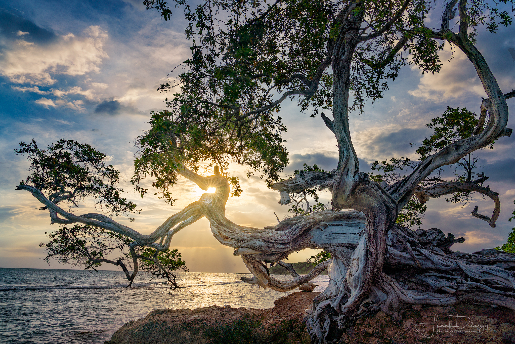 _DSC3083-buttonwood-tree-treasure-beach-jamaica.jpg