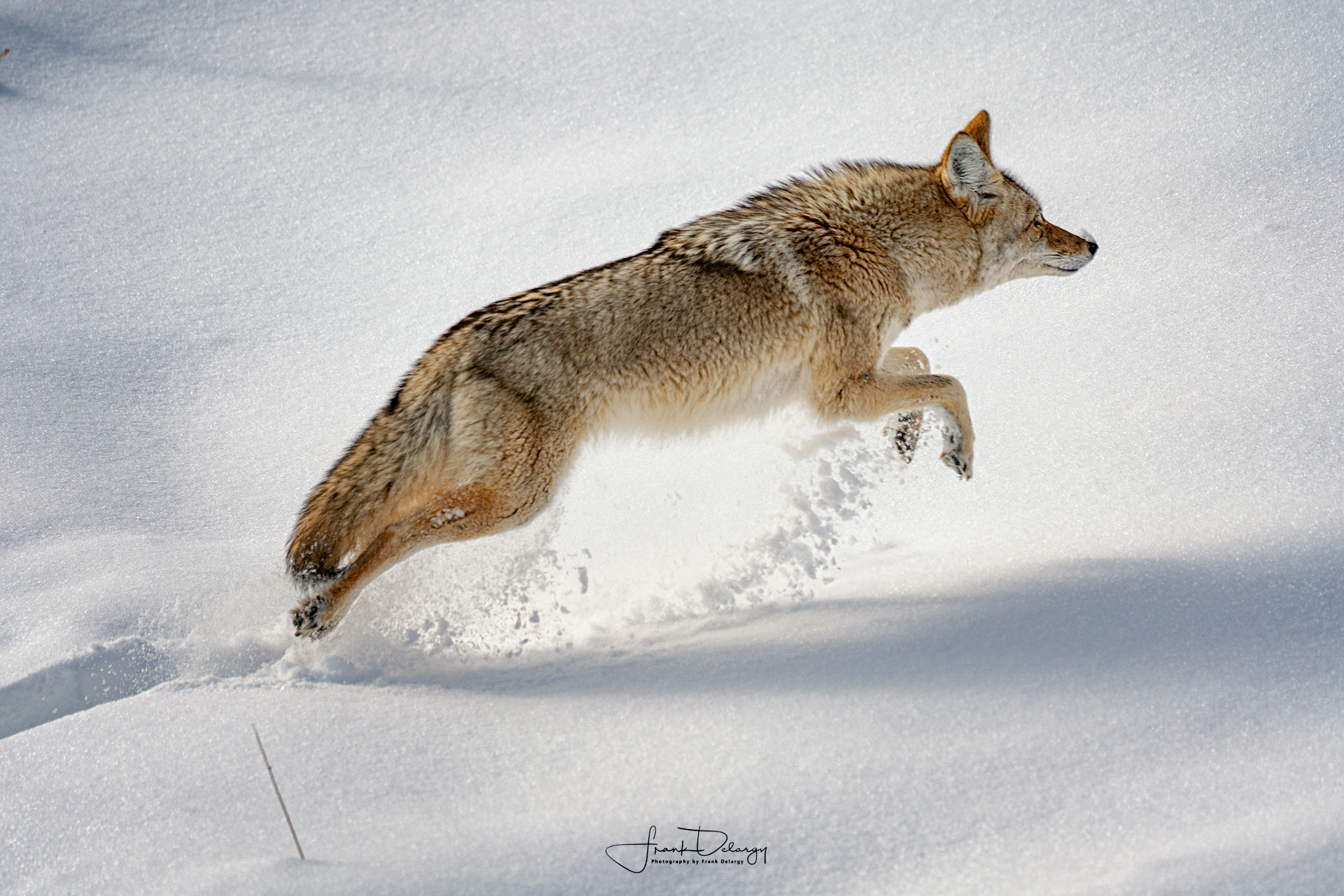 I felt so lucky to capture this guy in mid flight, bounding out of a couple of feet of snow.