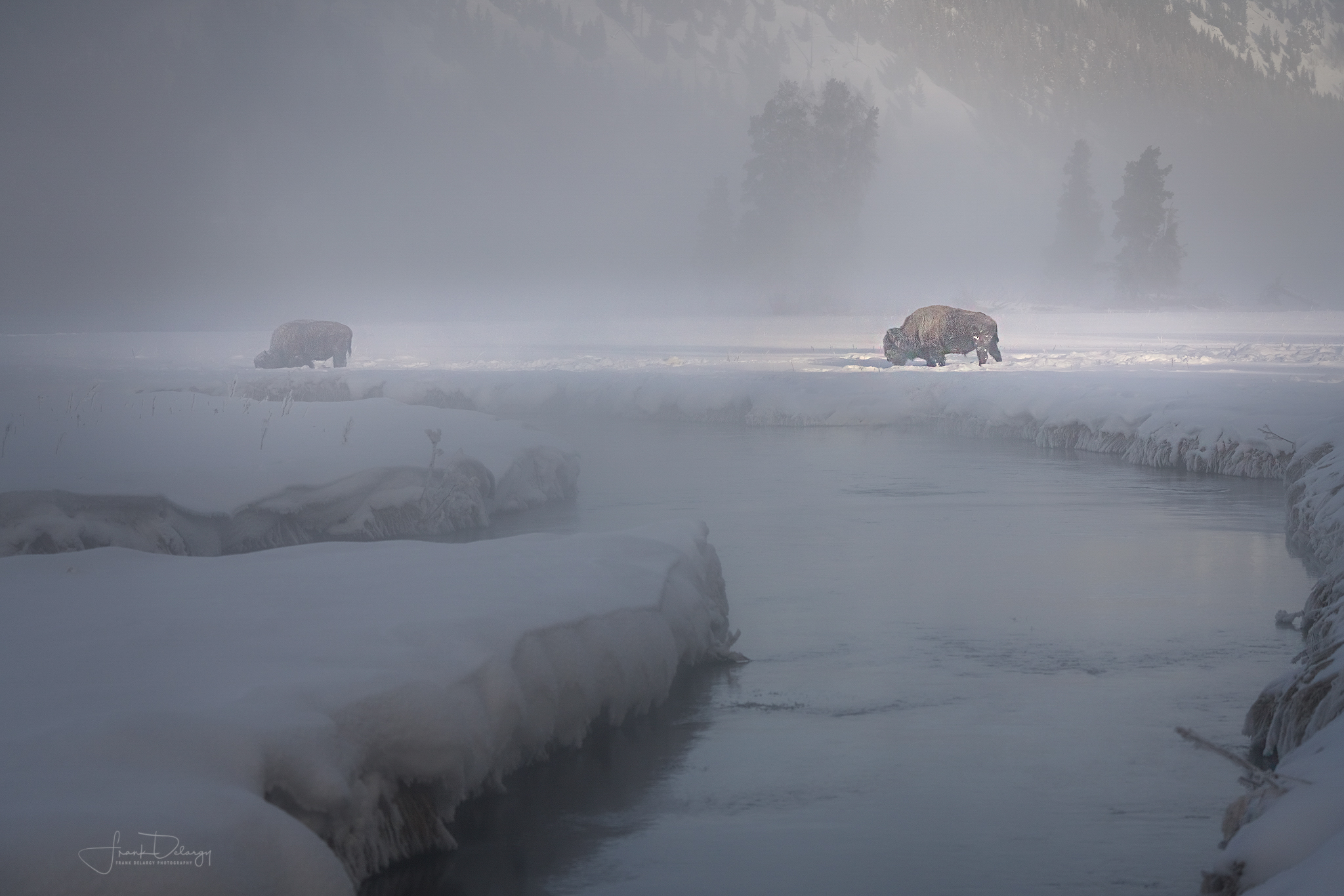 Bison pushing snow aside to forage on the grass underneath. Great lighting!