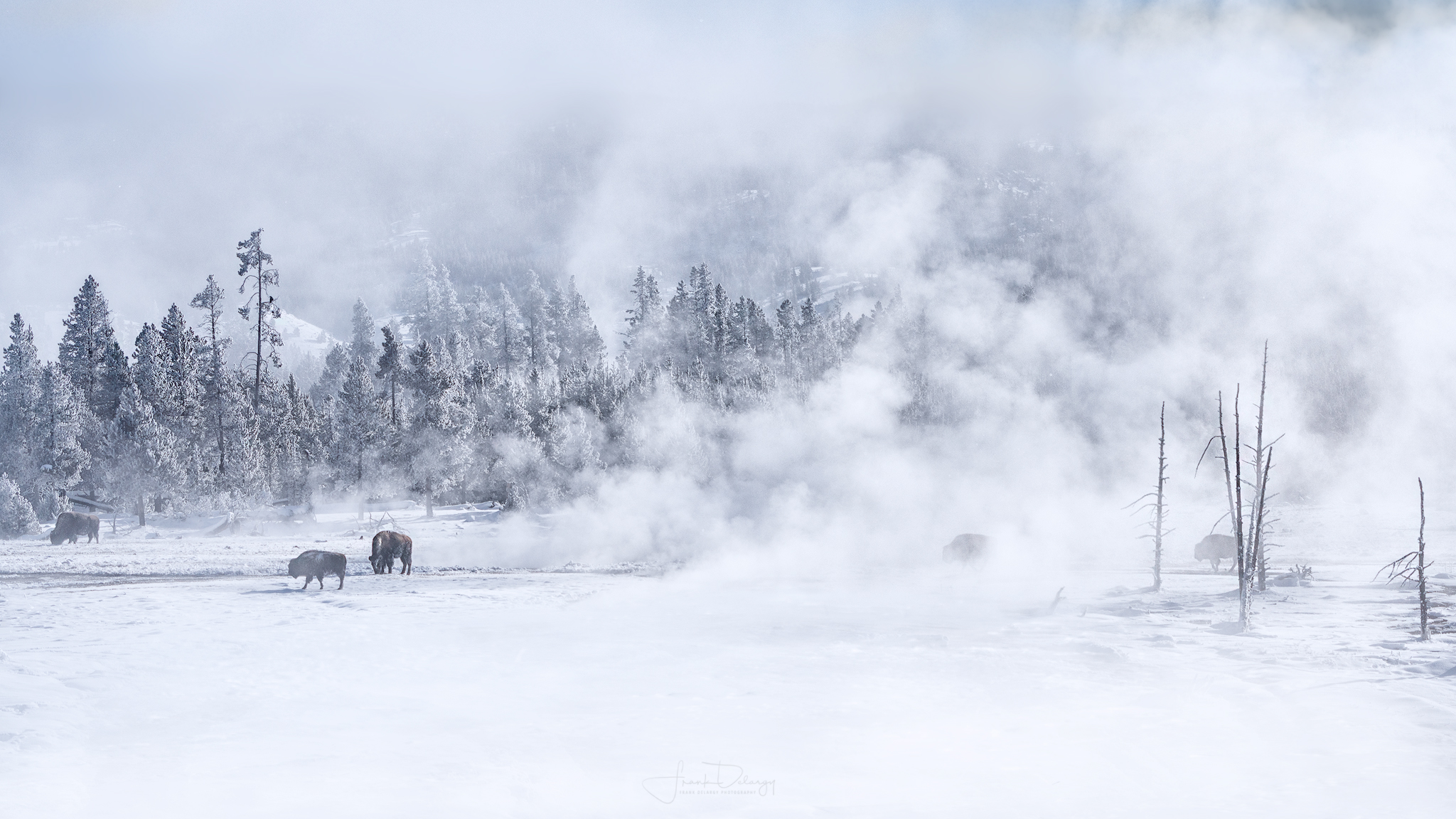 Bison walking through the steam of the geysers. An iconic image of Yellowstone.
