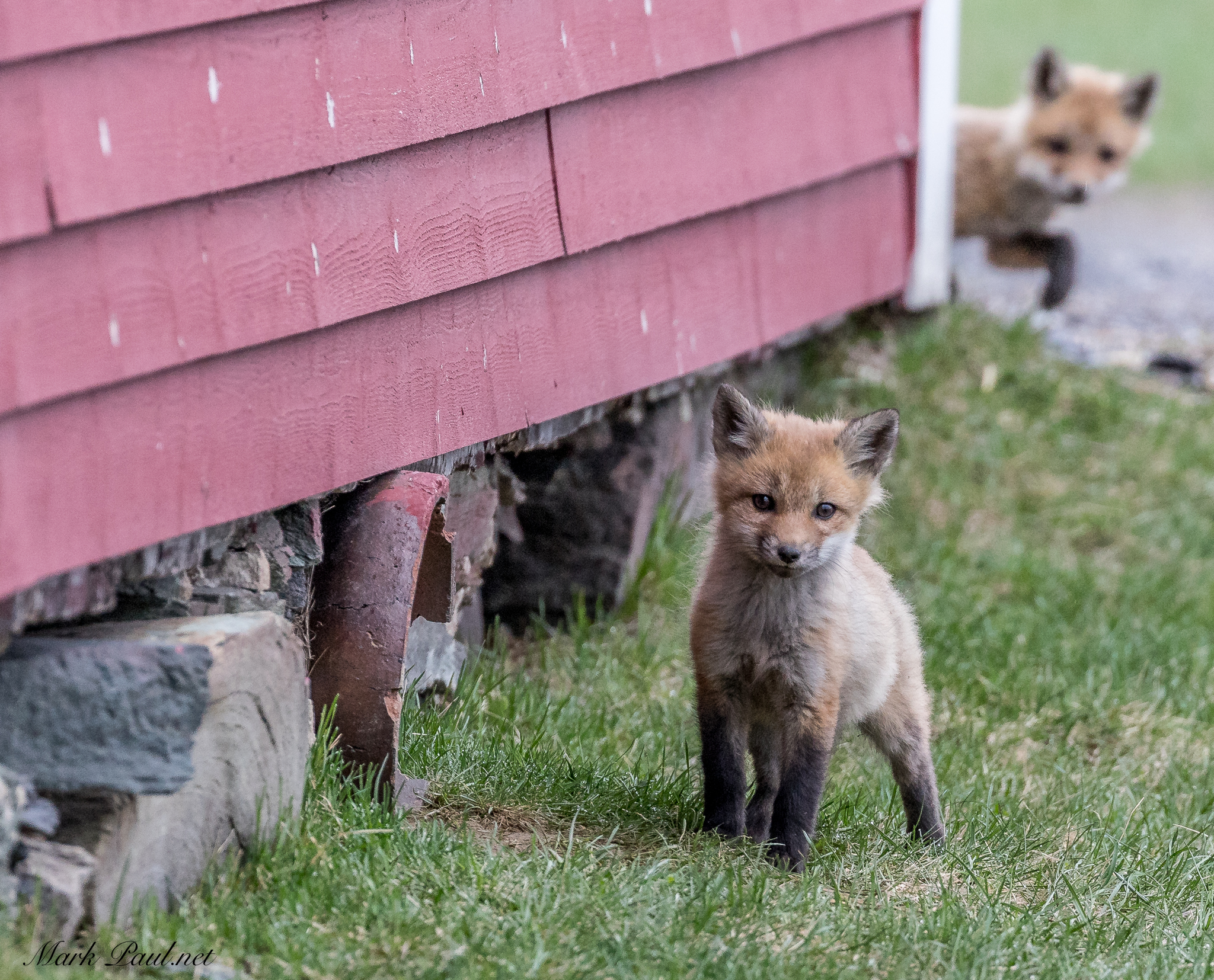 Red Fox, Stowe, VT