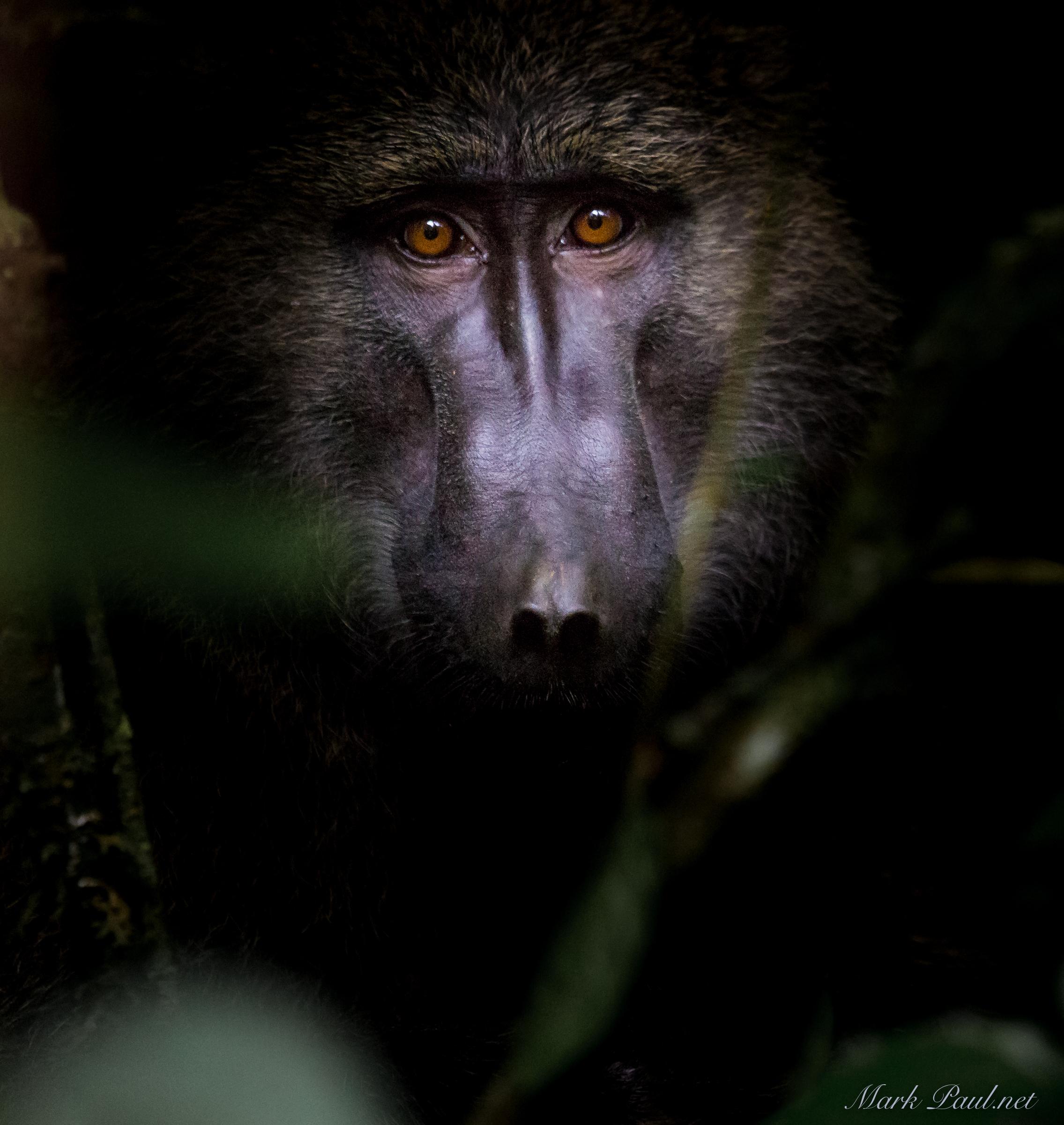 Oive Baboon in Kibale Uganda