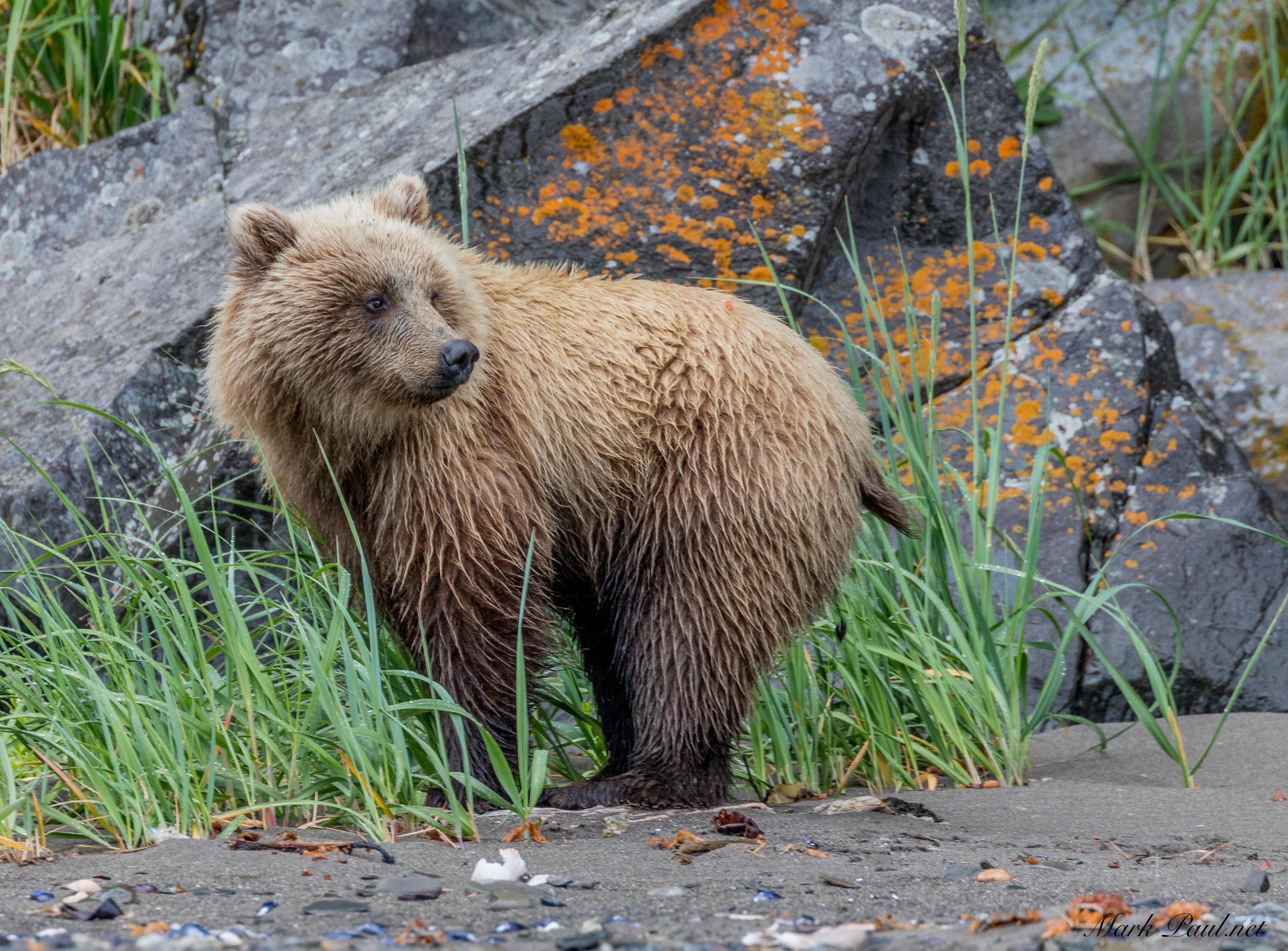 Cinnamon Girl, Alaska Brown Bear