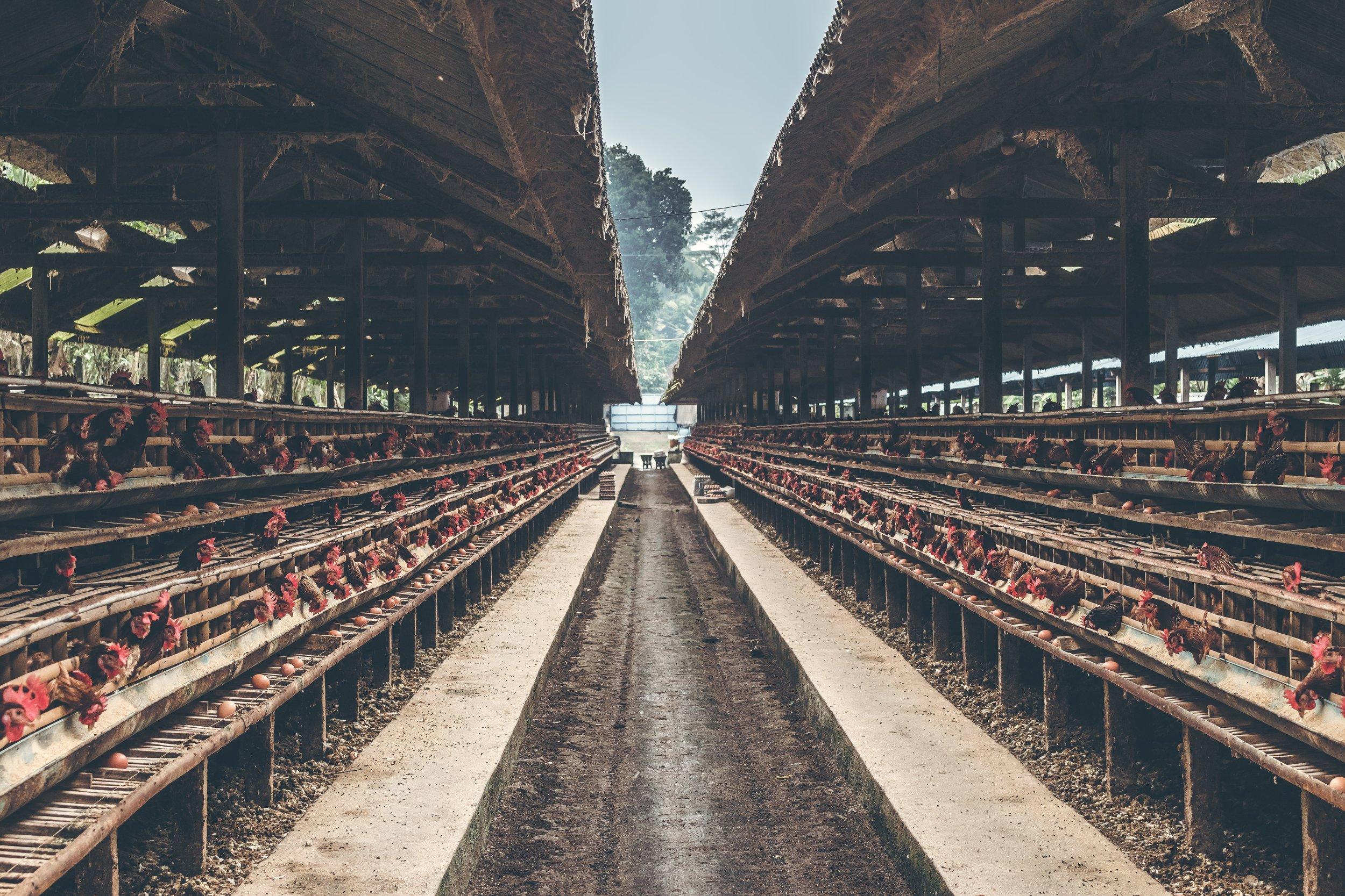 animals-building-chickens-1467711.jpg