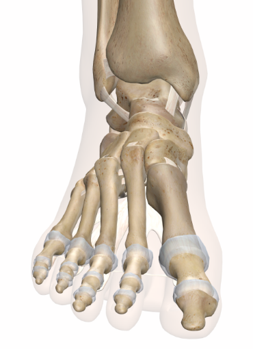The toes should be the widest part of the foot.