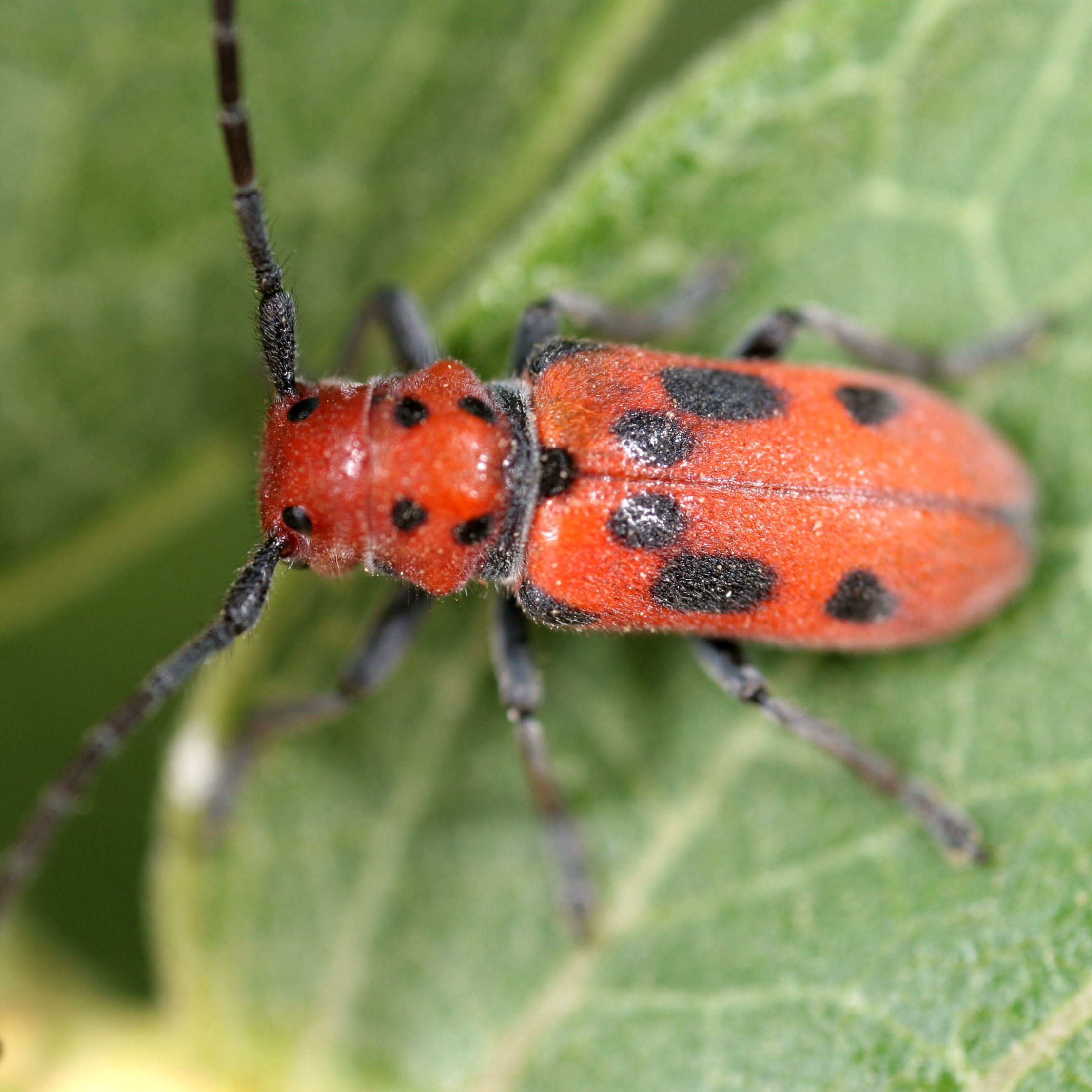 Red+milkweed+beetle+1.jpg