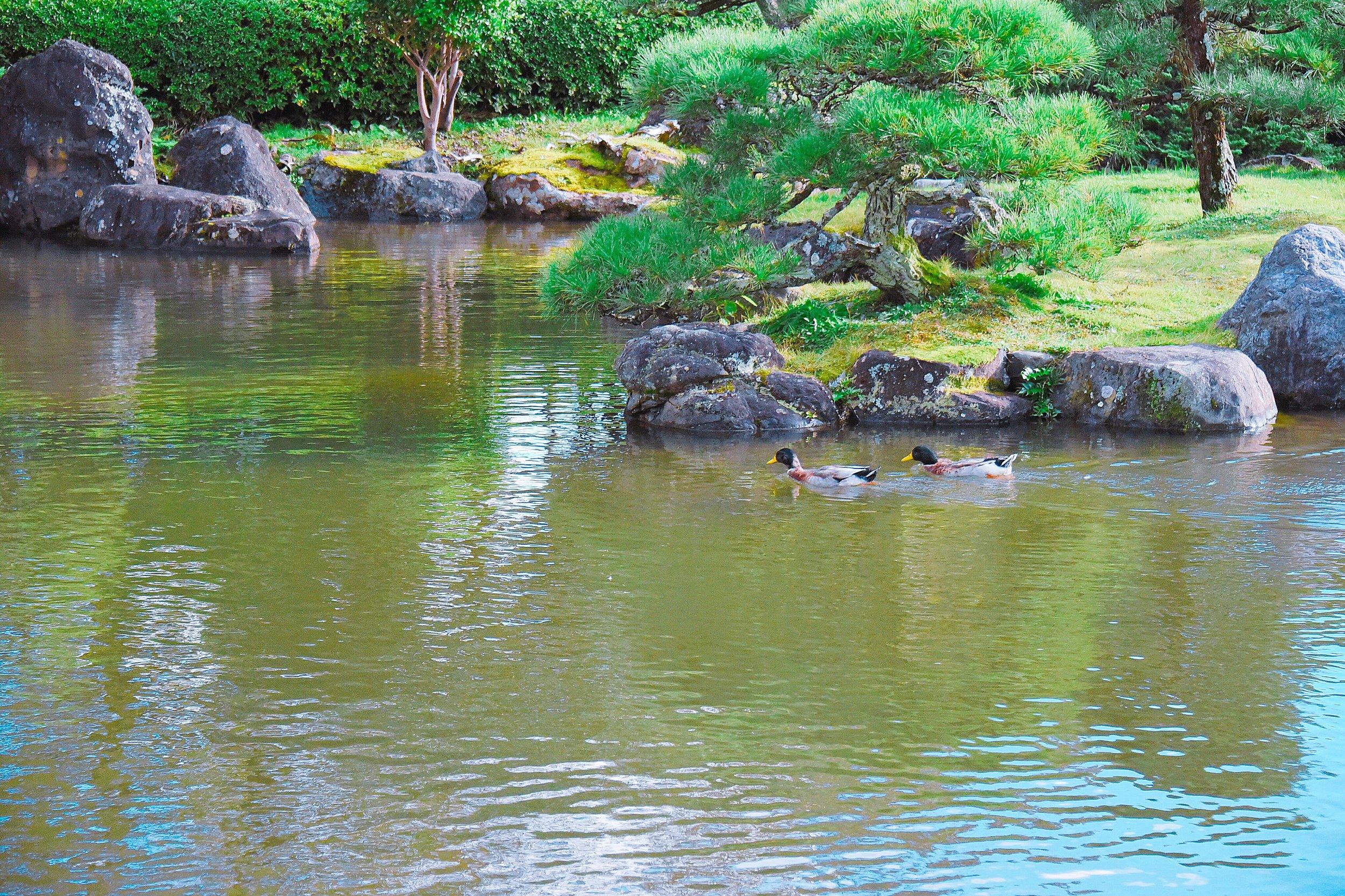池を泳ぐ仲良しなカモ