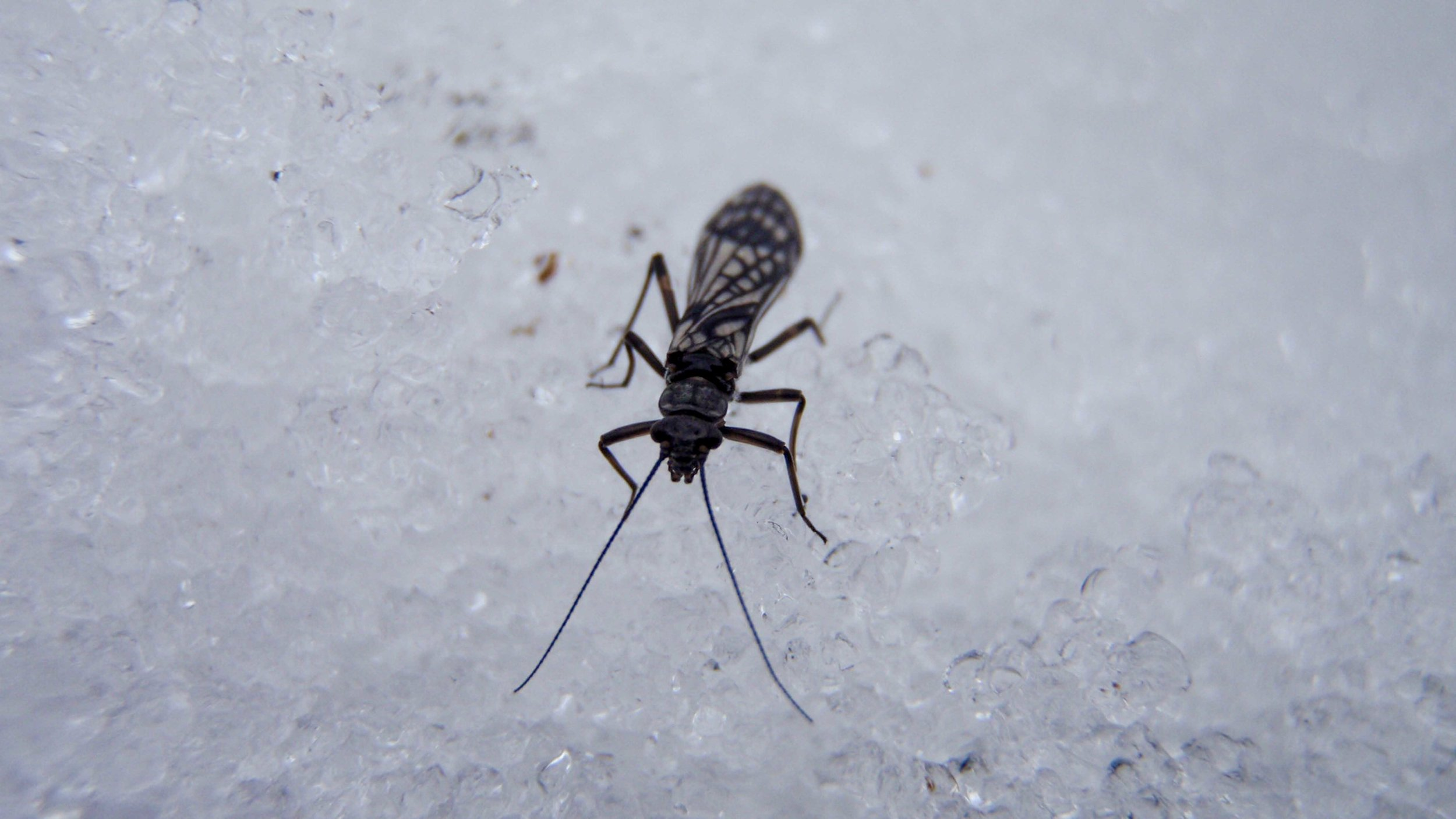 Winter Stonefly Adult