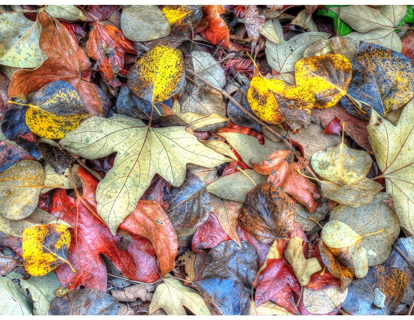 Gary Robinson,  Sycamore and Cottonwood Fall Leaf Mix – Dash of Redwood