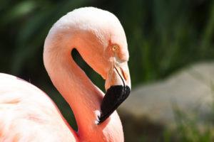 Chilean-Flamingo1-300x200.jpg