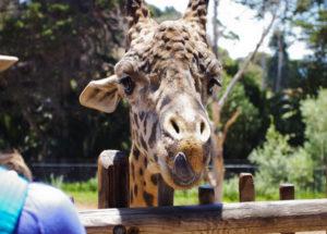 Masai-Giraffe1-300x215.jpg