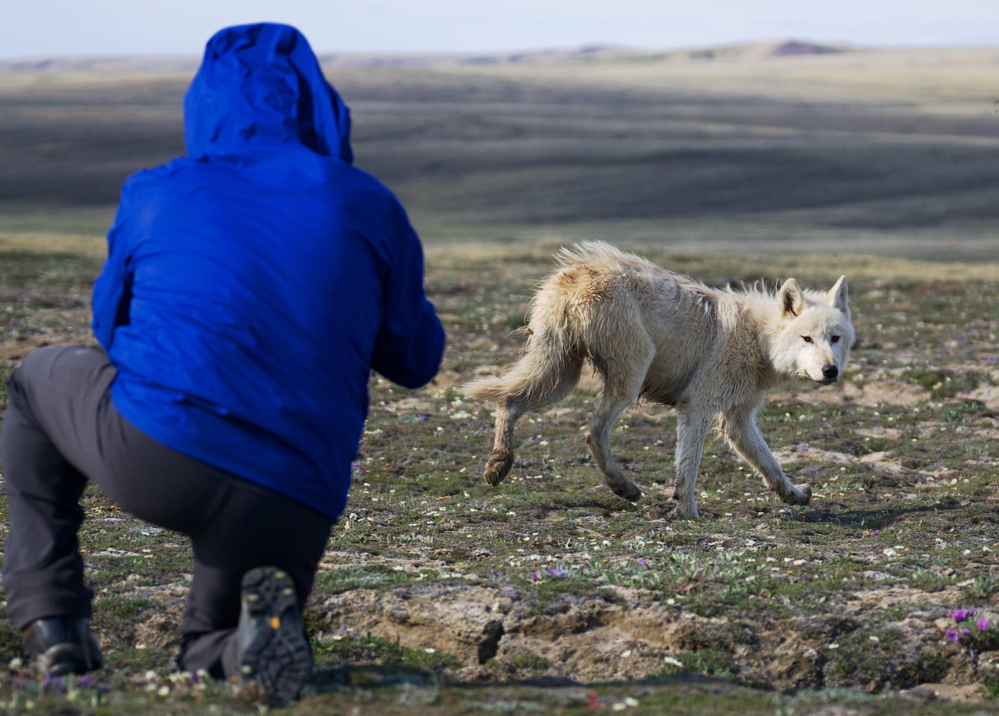 ITA-Awakening, Arctic Wolf, Aulavik National Park, Cory Trepanier©2015.jpg