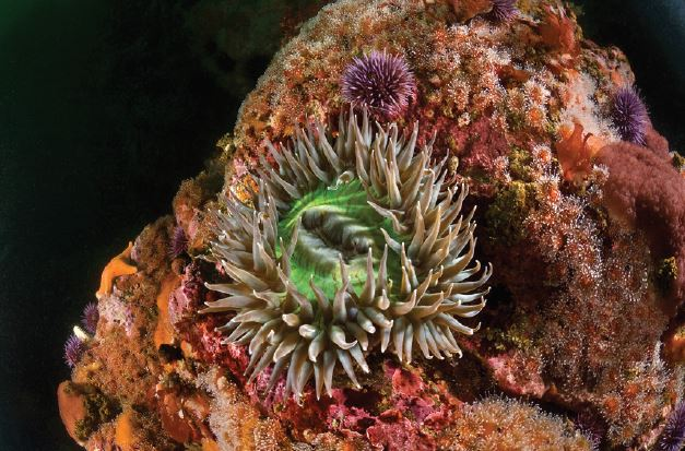 Richard Salas, Solitary Anemone (Anthopleura sola)