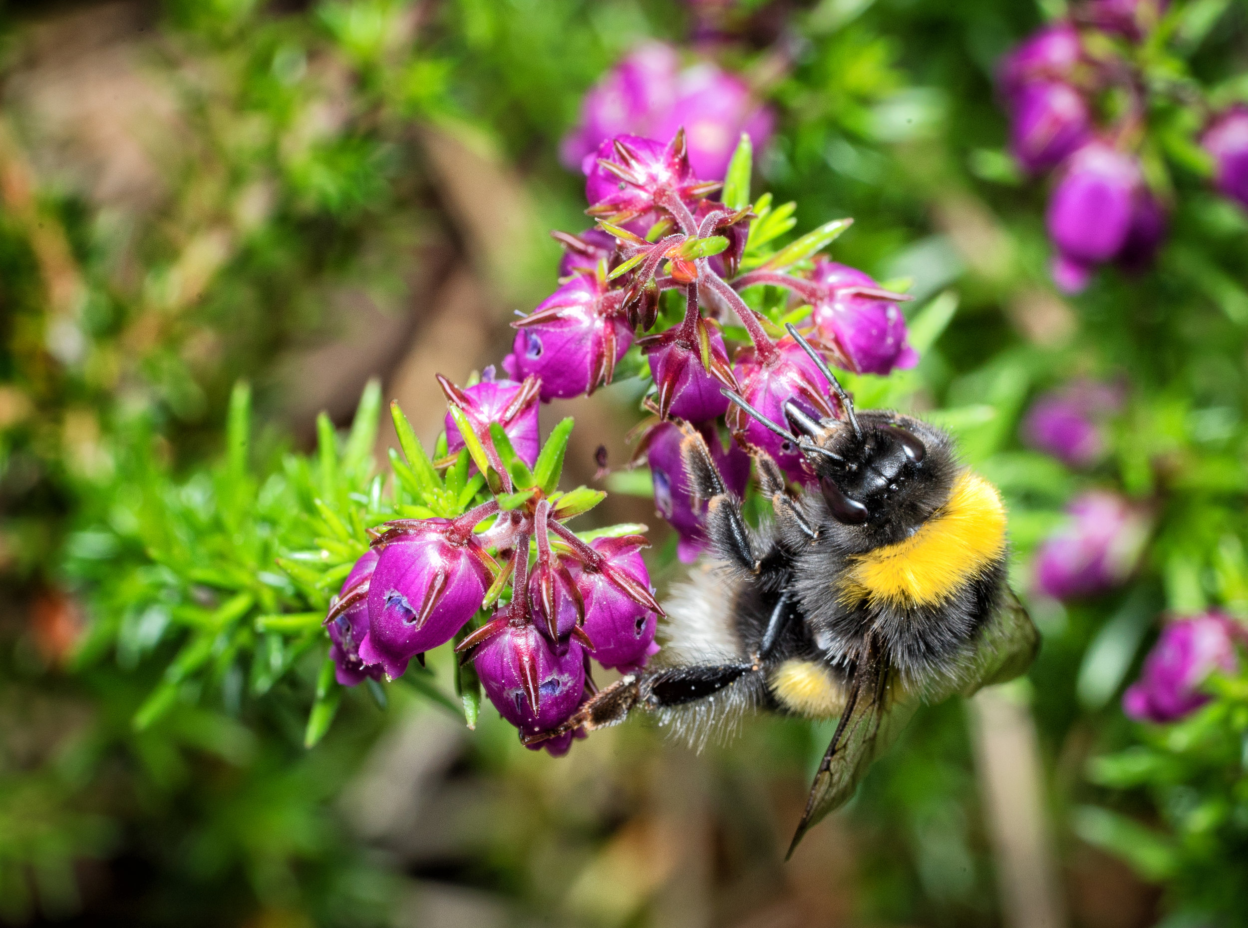 Elliot Lowndes, Bumble bee on Bell Heather
