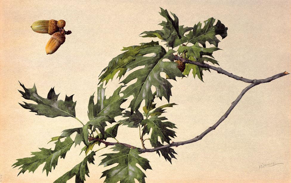 Quercus kelloggi - fall (California Black Oak) 1908–1918