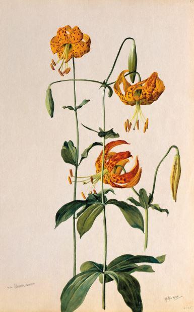 Lilium humboldtii ssp. ocellatum (Humboldt Lily) 1908–1918