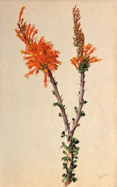 Fouquieria splendens (Ocotillo) 1908–1918