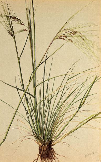 Nassella pulchra (Purple Needle-grass) 1908–1918