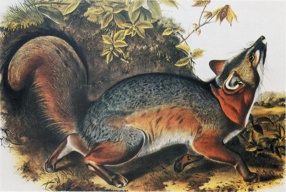 John James Audubon, Gray Fox Male