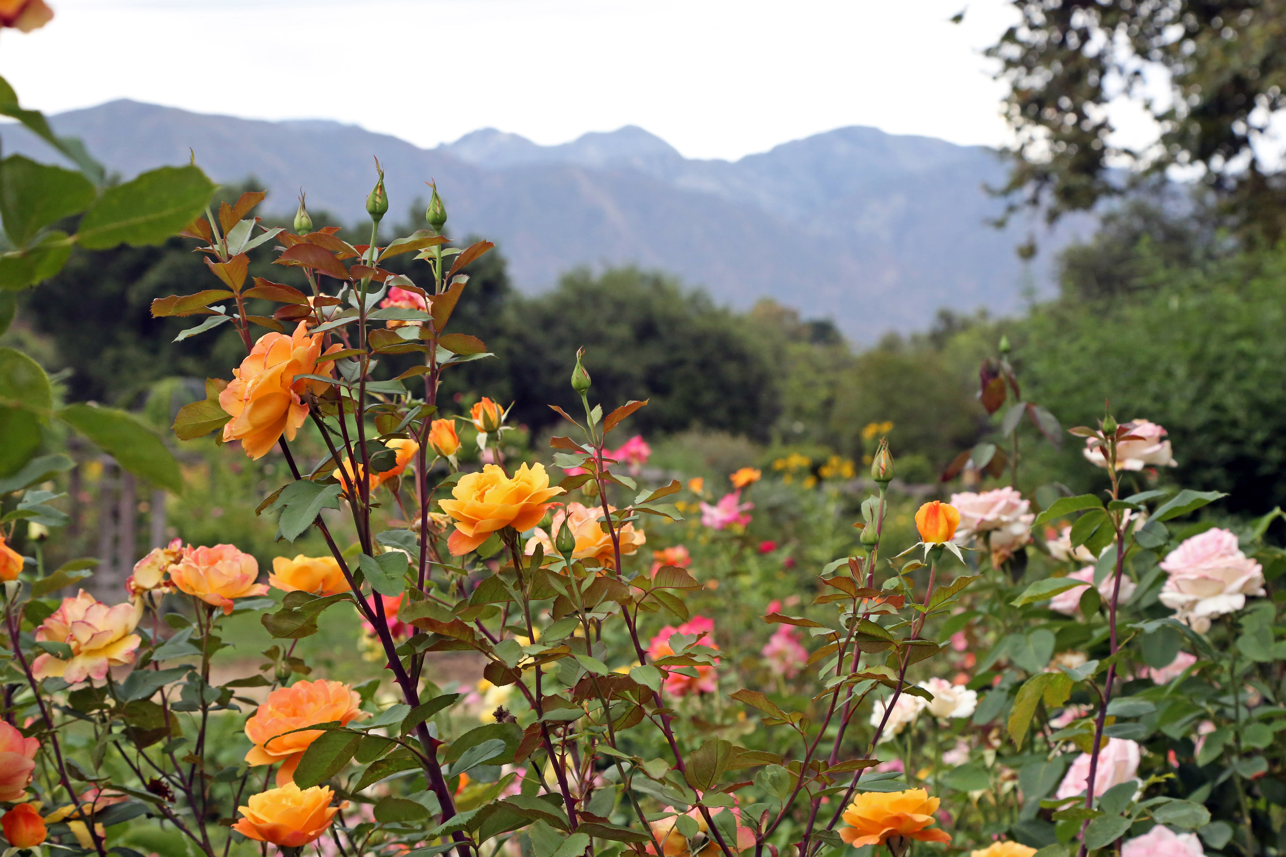 Rose Garden at Descanso Gardens.jpg