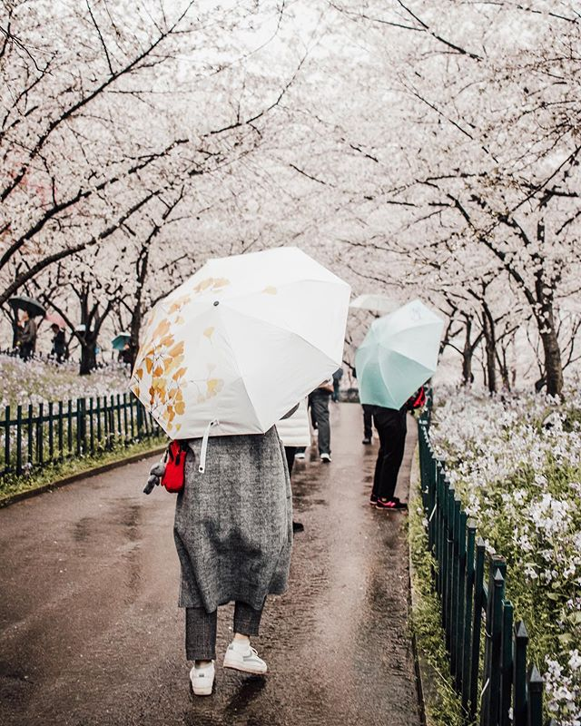 my students took me to one of the world's three cherry blossom capitals. it was one of the best rainy days I've ever had ☔️🌸