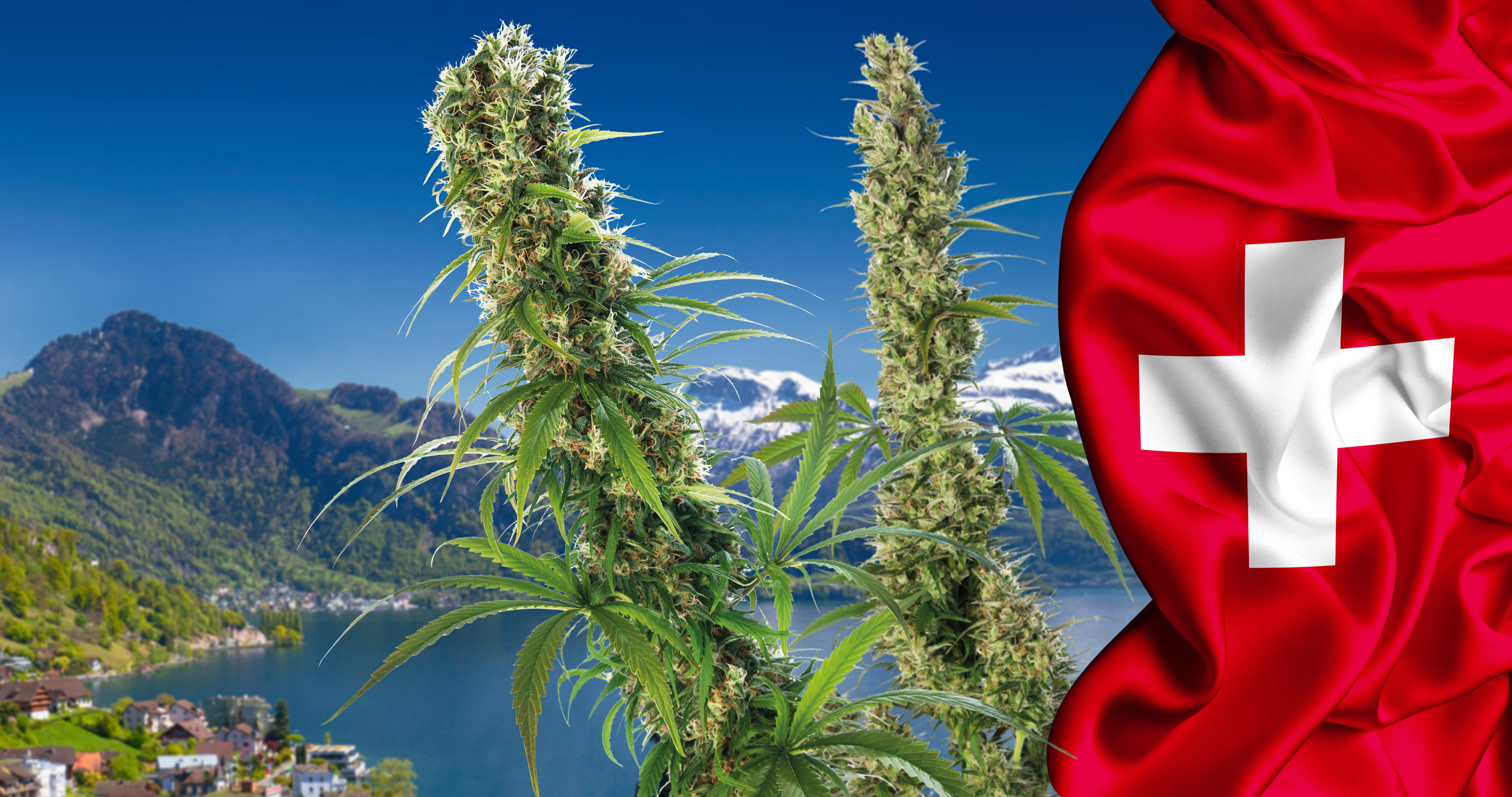 32-cannabis-in-Switzerland_4K-1.jpg