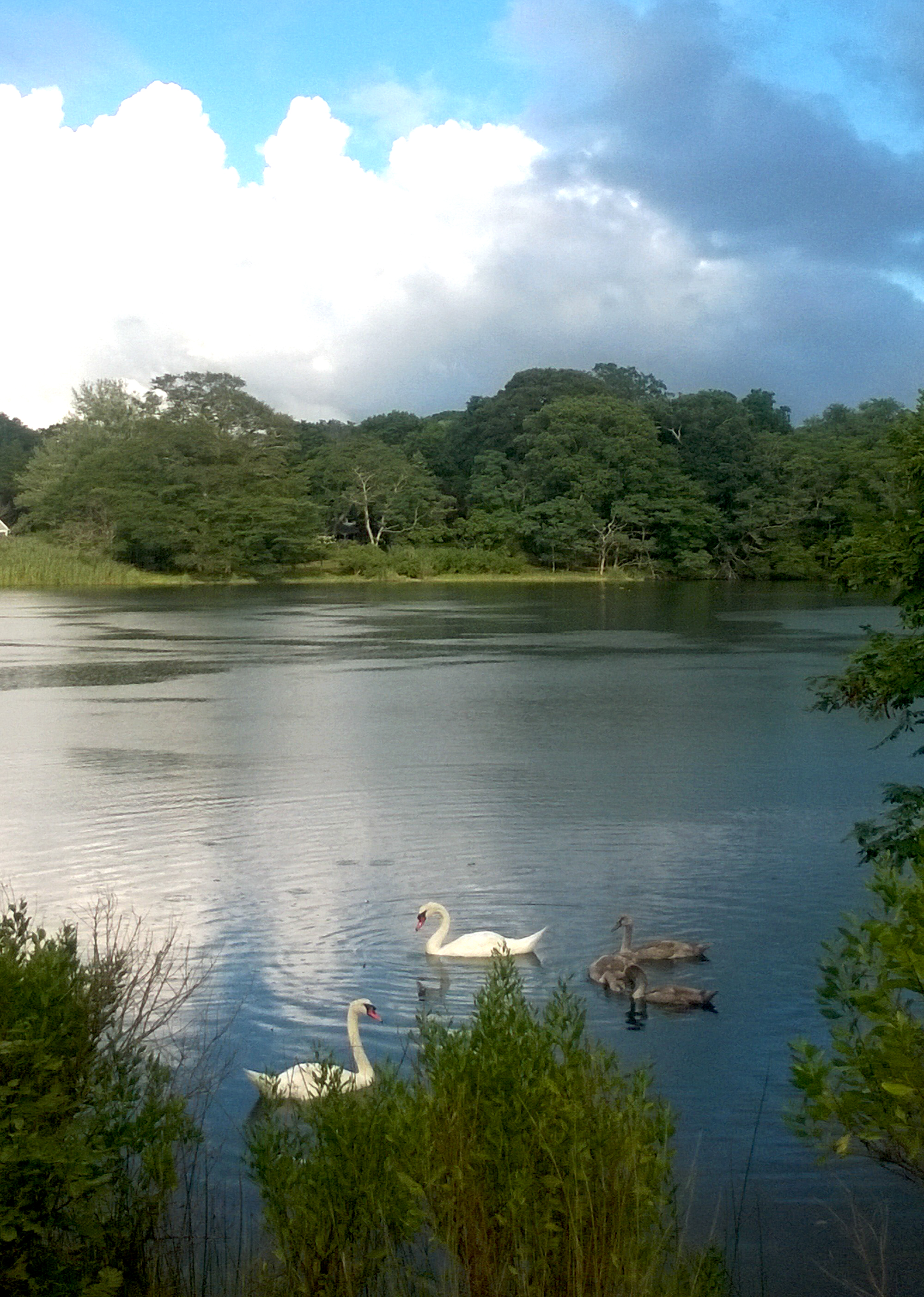 Swans before the storm