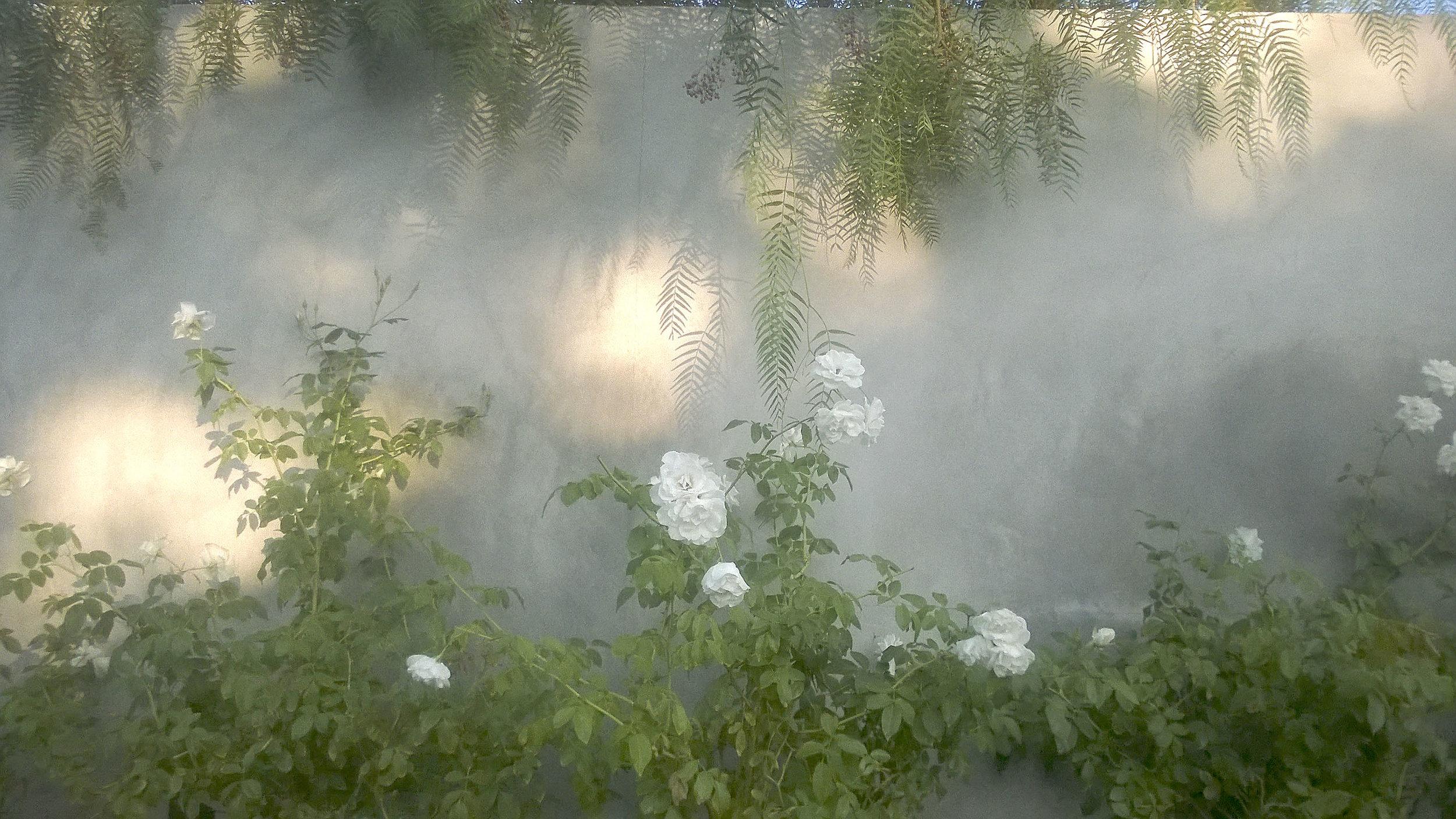 Hazy Rose Wall