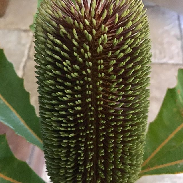 The beautiful banksia robur. In store now