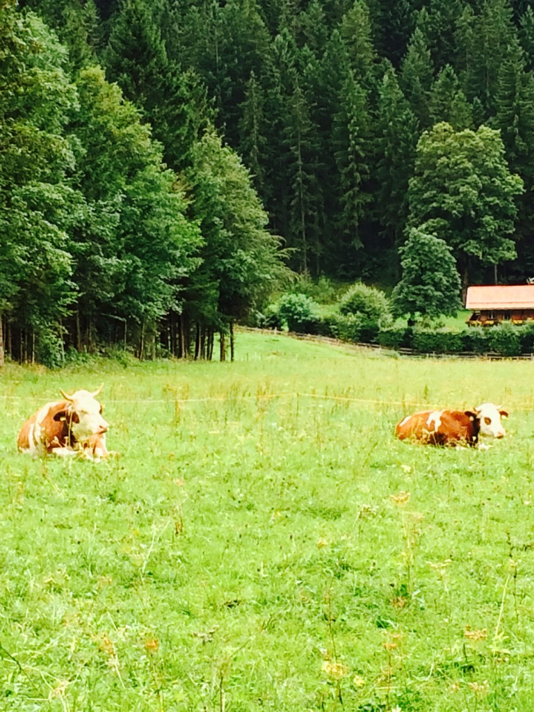 cows-in-bavarian-field-768x1024.jpg