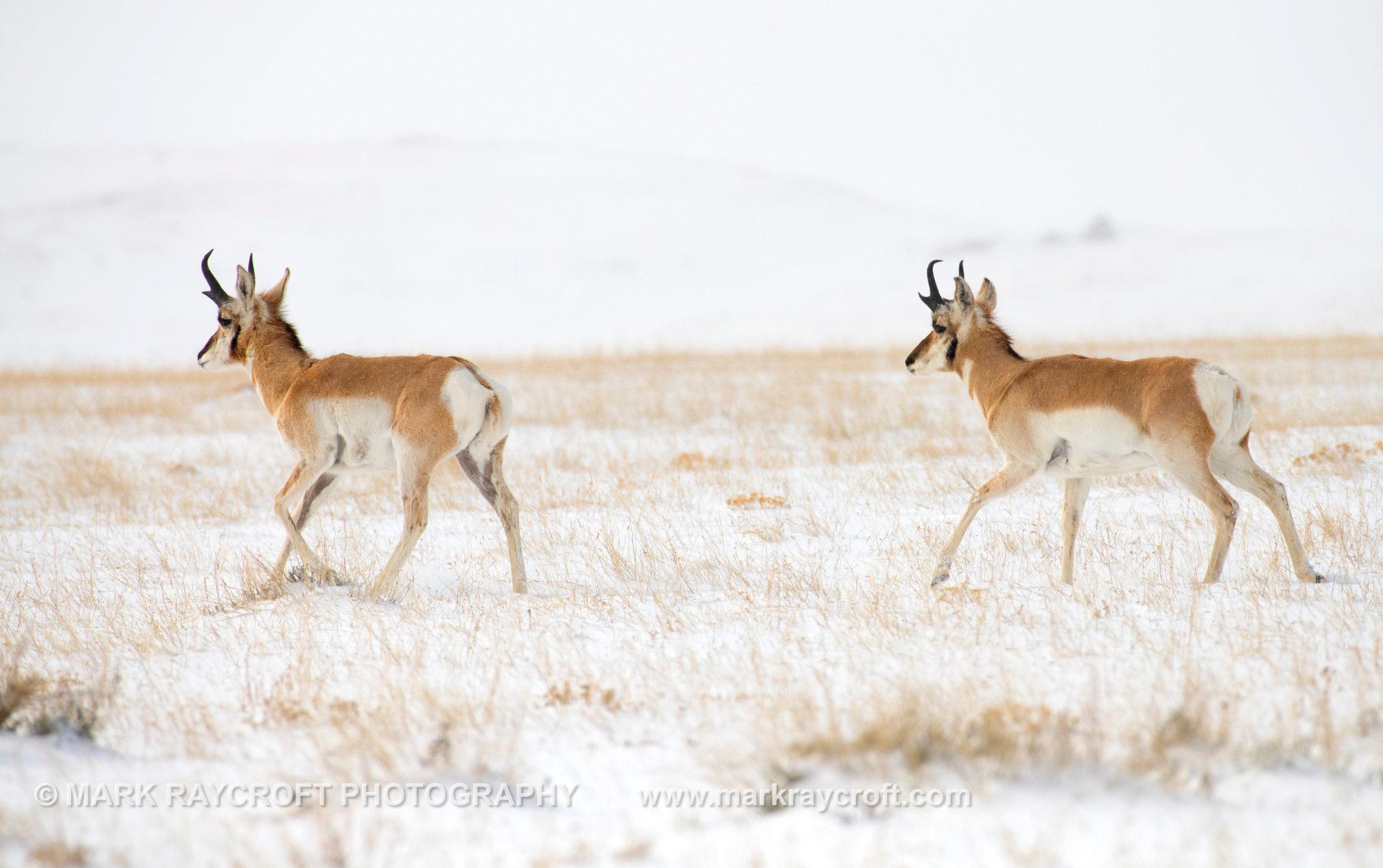 PH024_Pronghorn_Antelope_Mark_Raycroft.JPG