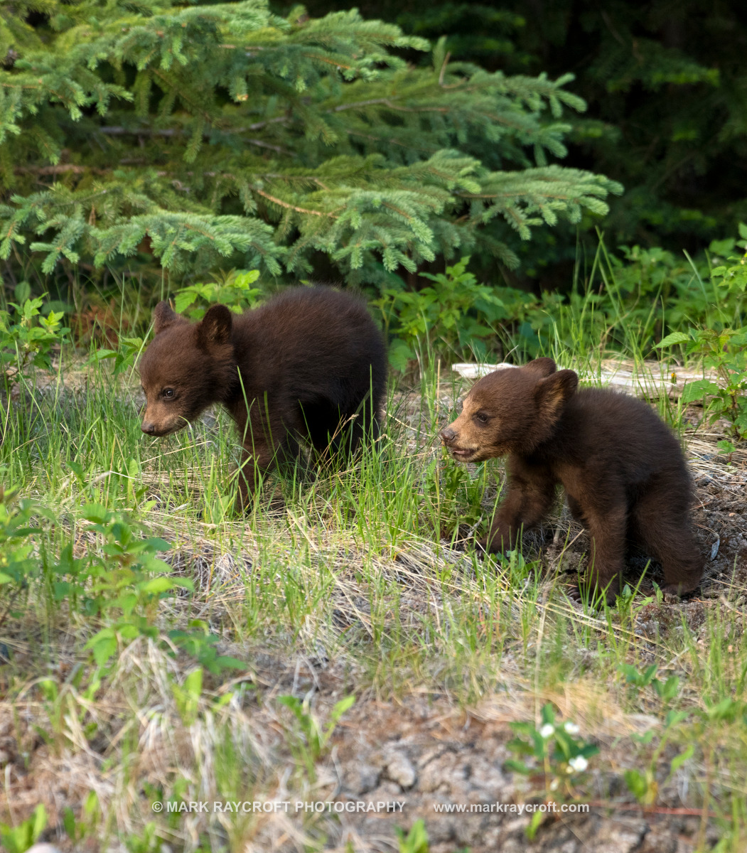 UA77521_CINNAMON CUBS Black_Bear_Mark_RaycroftB.JPG
