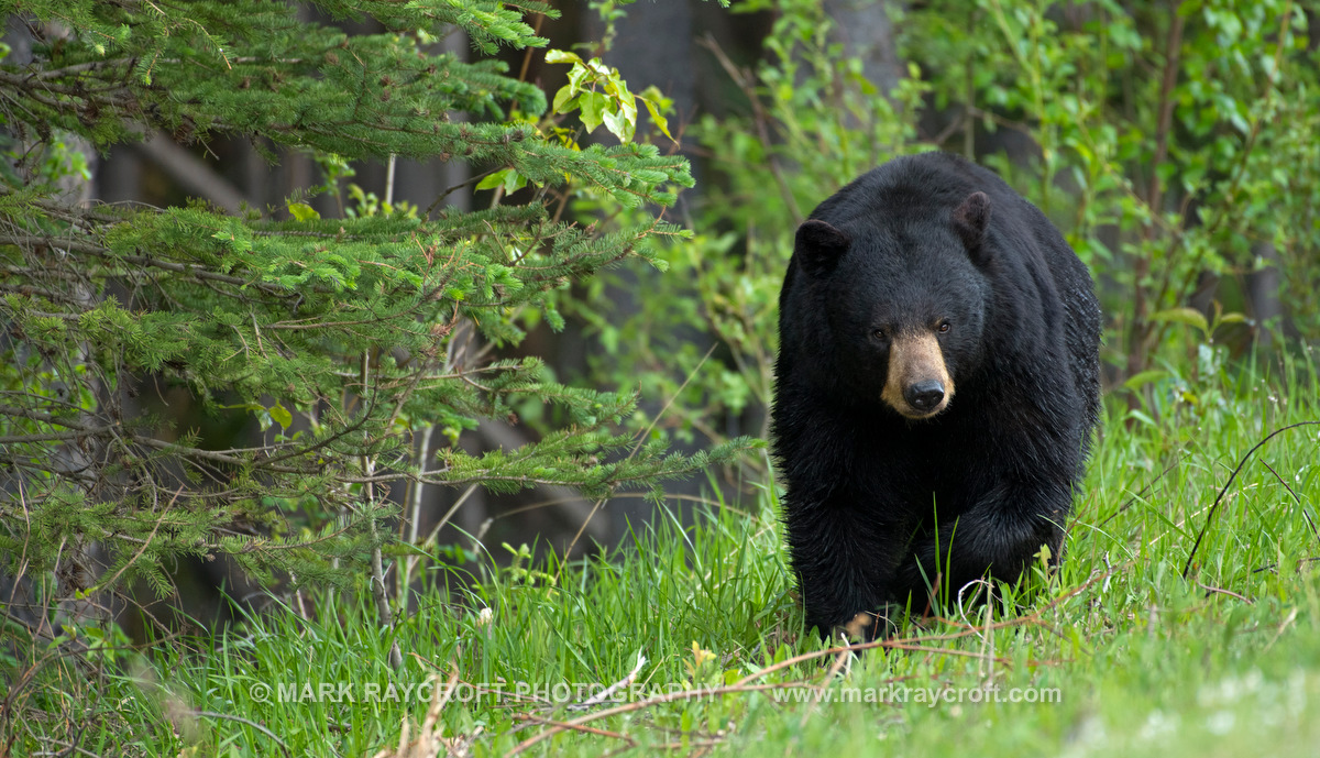 UA77511_Black_Bear_Mark_Raycroft.JPG