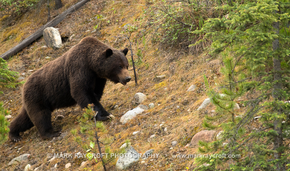 GB3848_Grizzly_Bear_Mark_Raycroft.JPG
