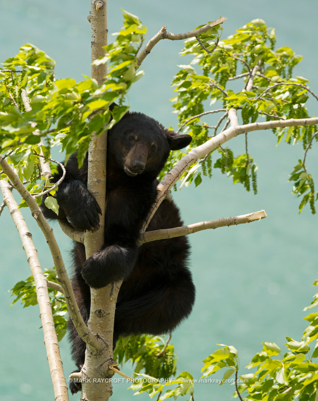UA7704_Black_Bear_Mark_Raycroft.JPG