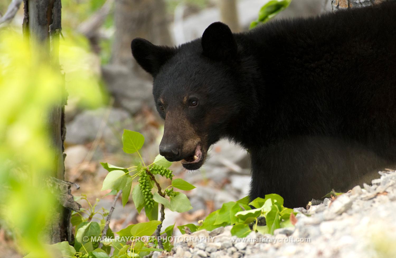 UA7705_Black_Bear_Mark_Raycroft.JPG