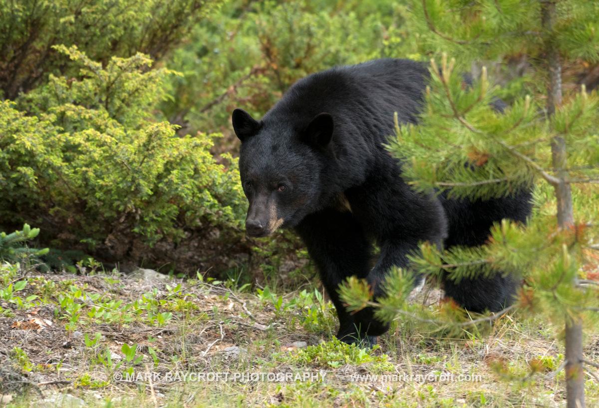 UA7738_Black_Bear_Mark_RaycroftB.JPG